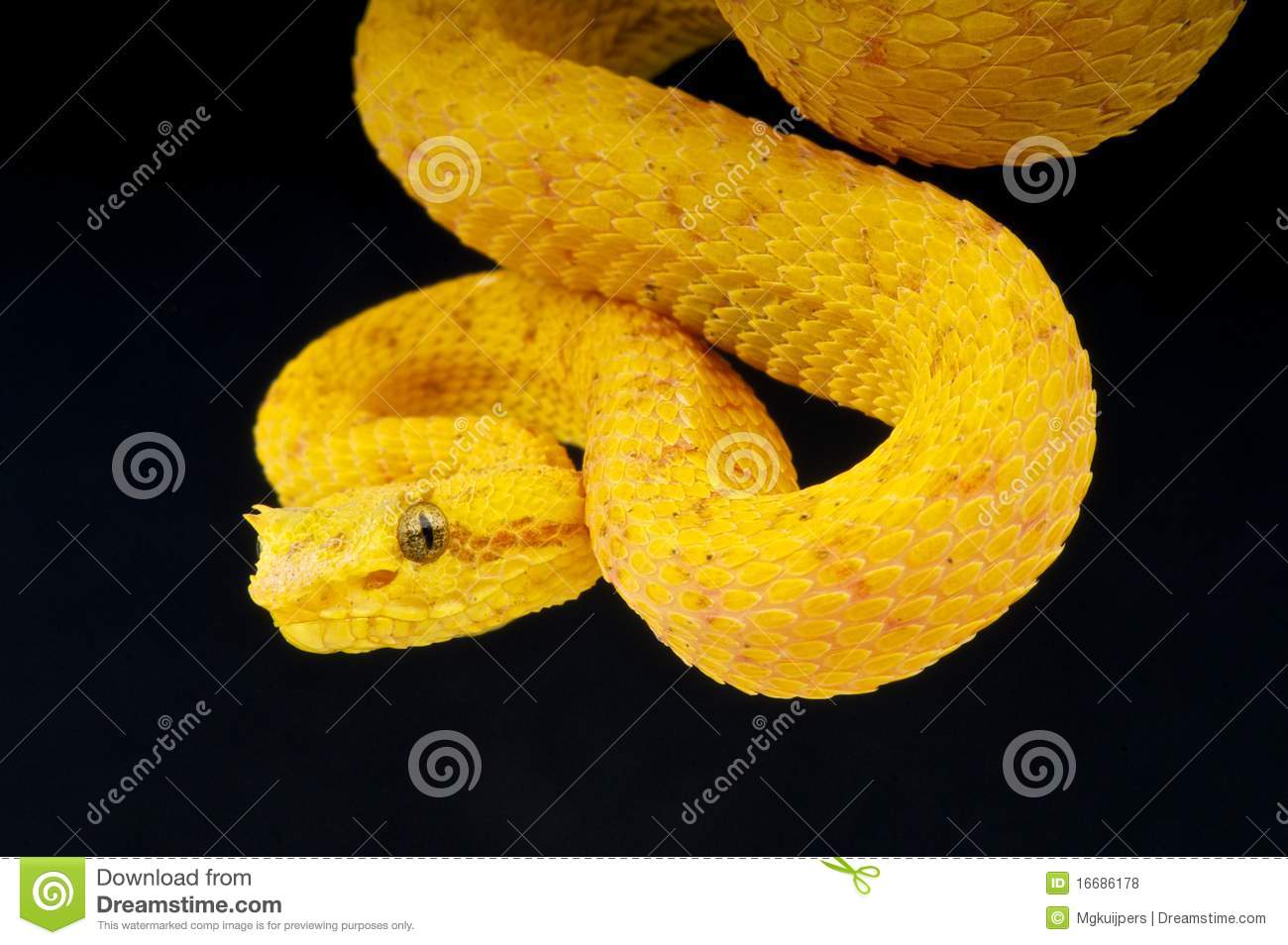 Eyelash Viper Stock Photo Image Of Pitviper Tree Dangerous 16686178