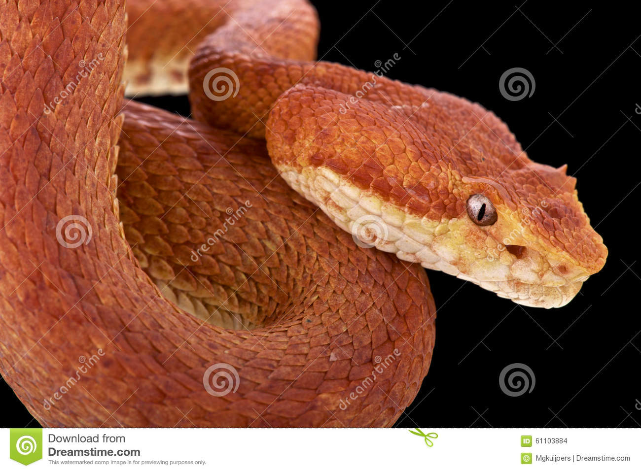 Eyelash Viper Bothriechis Schlegelii Stock Photo Image Of