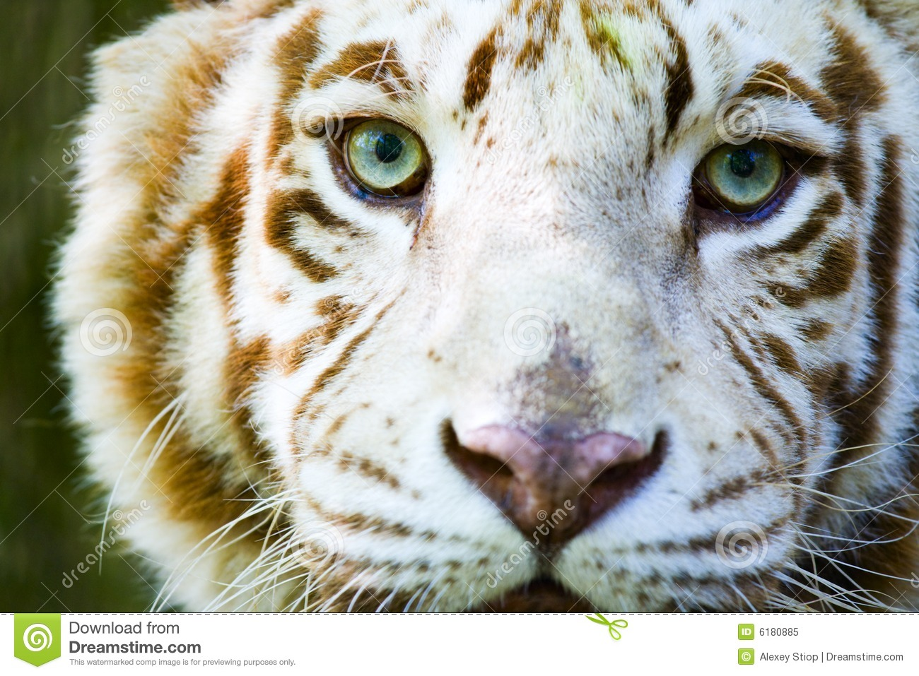 Eyes Of The Albino Tiger Stock Image. Image Of Green