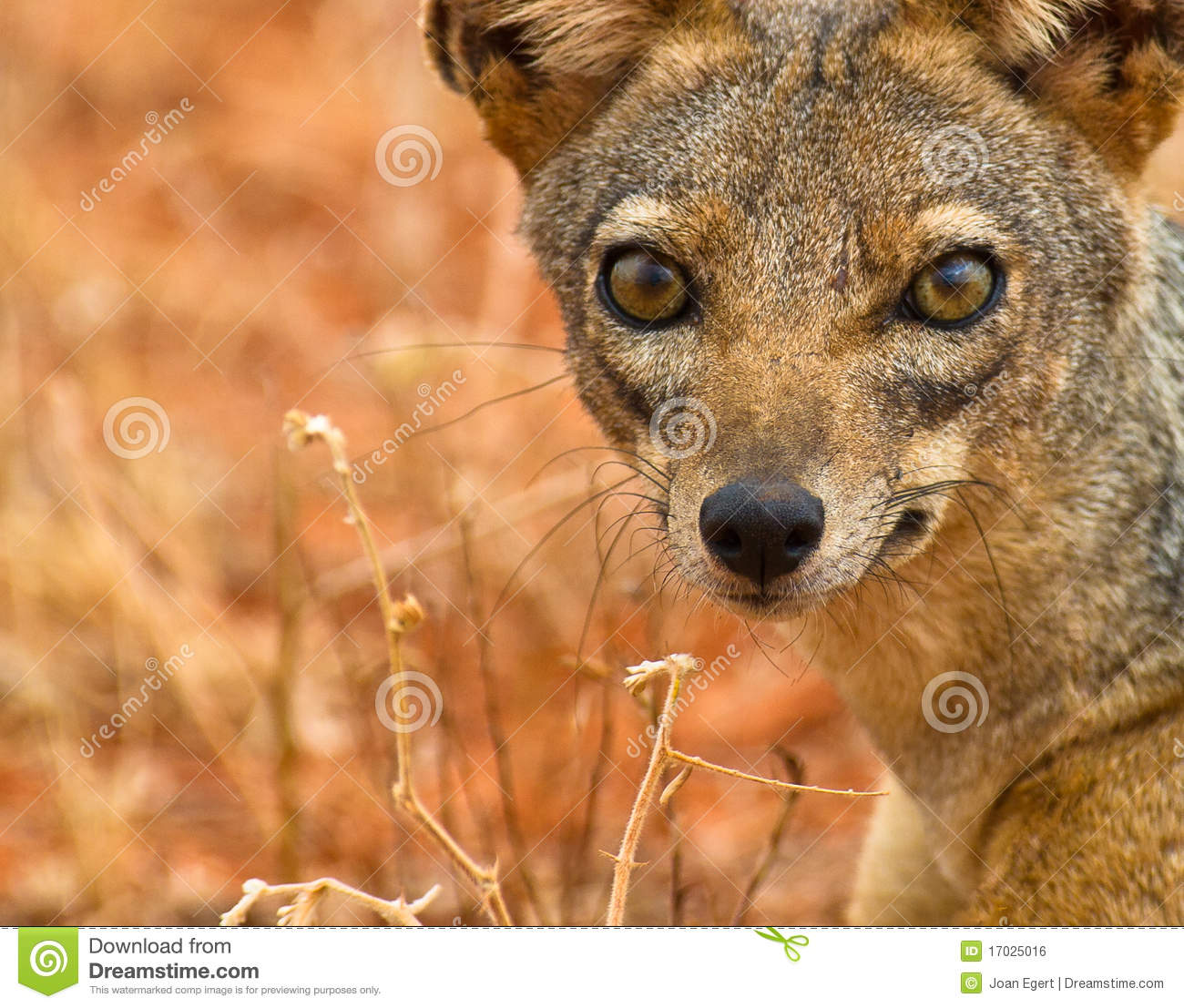 The Eyes Of The Black Backed Jackal Royalty Free Stock