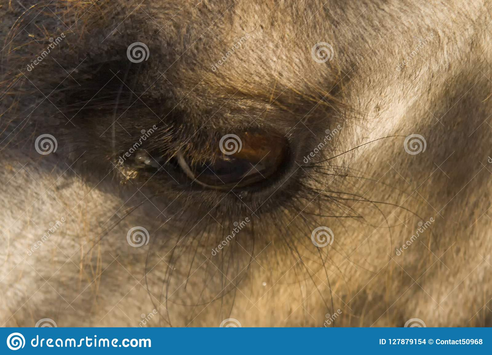 Eyes of camel. Close-up, macro photo. Used informally, camel or, more correctly, camelid refers to any of the seven members of th