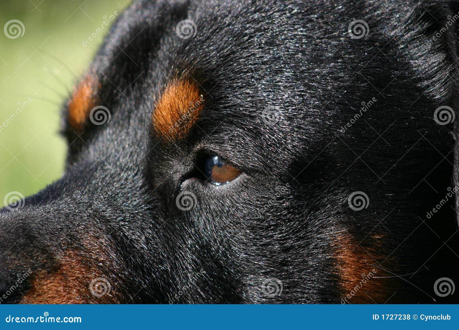 eyes of rottweiler royalty free stock photos
