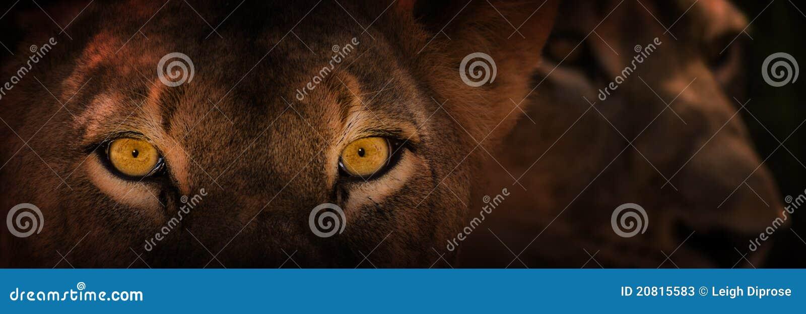 Eyes of staring lion