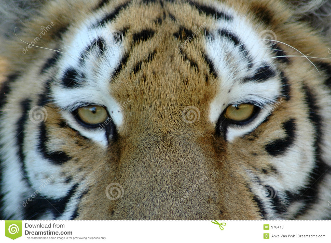 Eyes of tiger