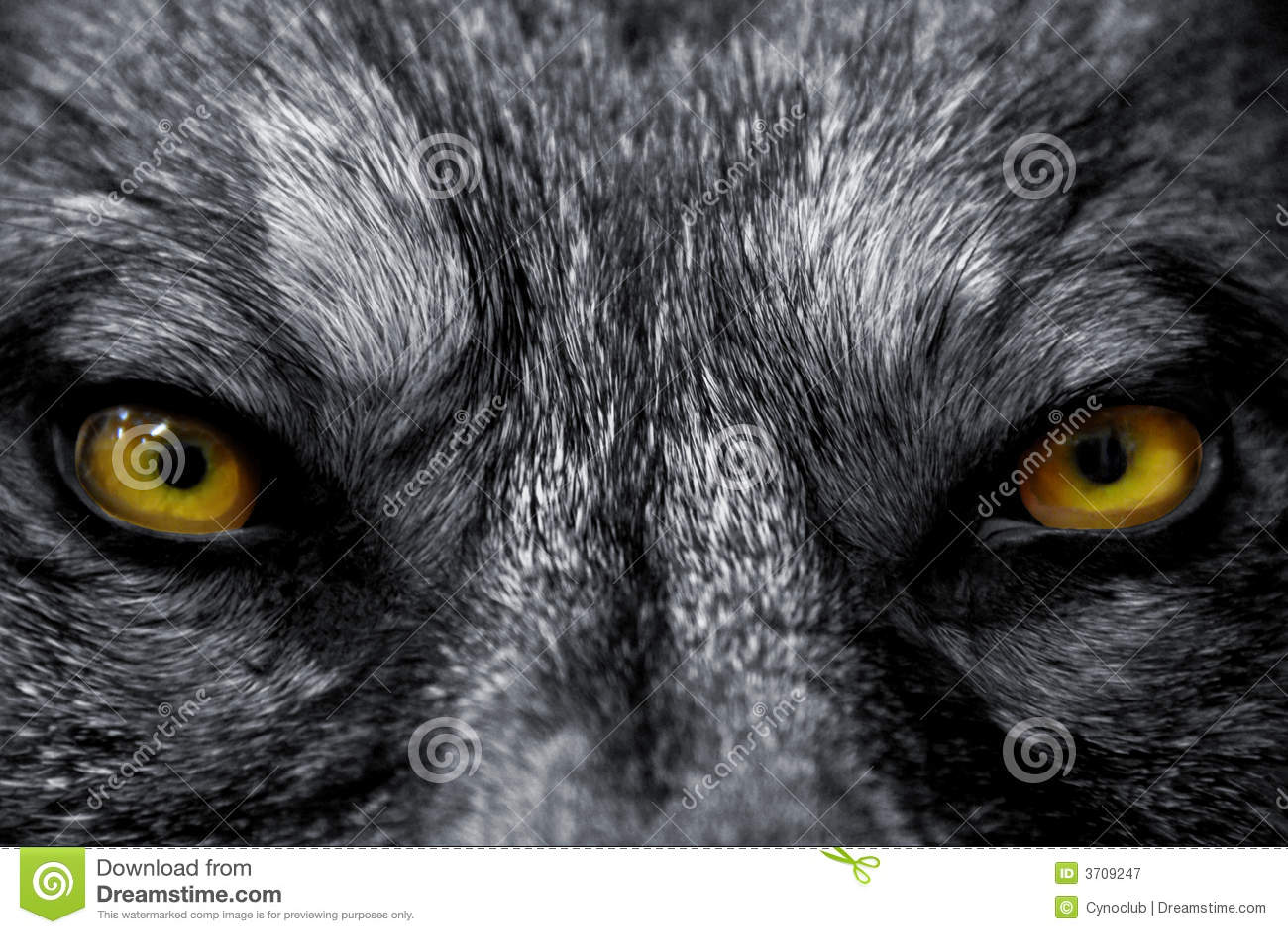 Eyes Of Wolf Royalty Free Stock Photography Image 3709247
