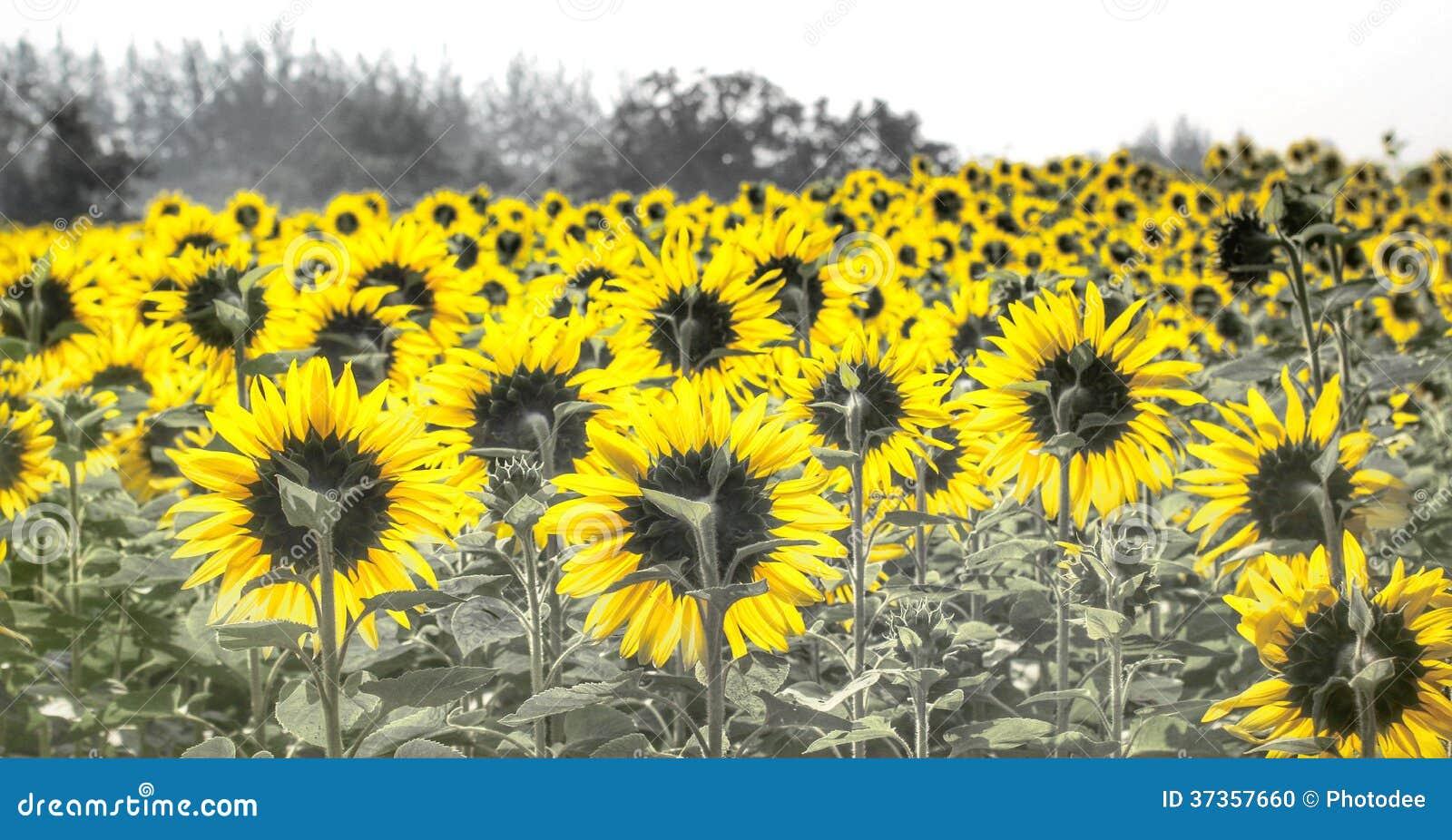 Fält av blommande solrosor