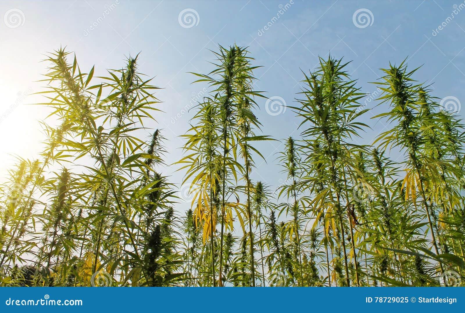 Fält av cannabisväxten med knoppar