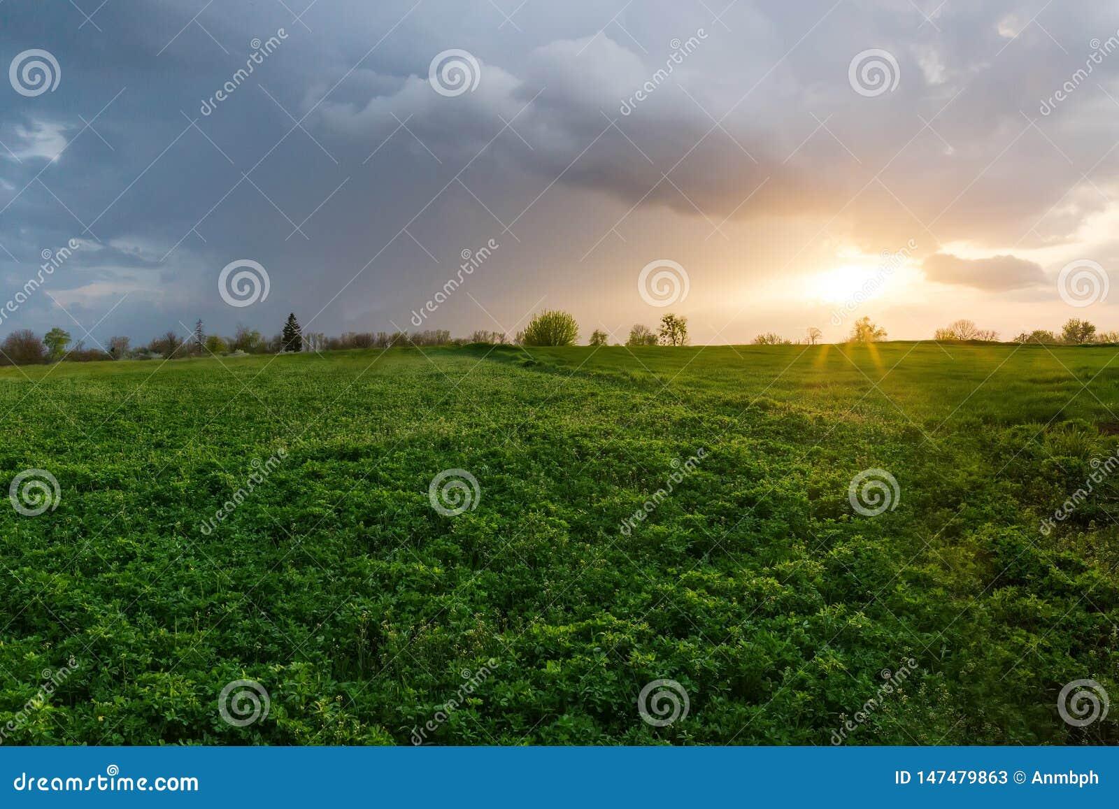 Fält av den unga alfalfan med andra växter på solnedgången