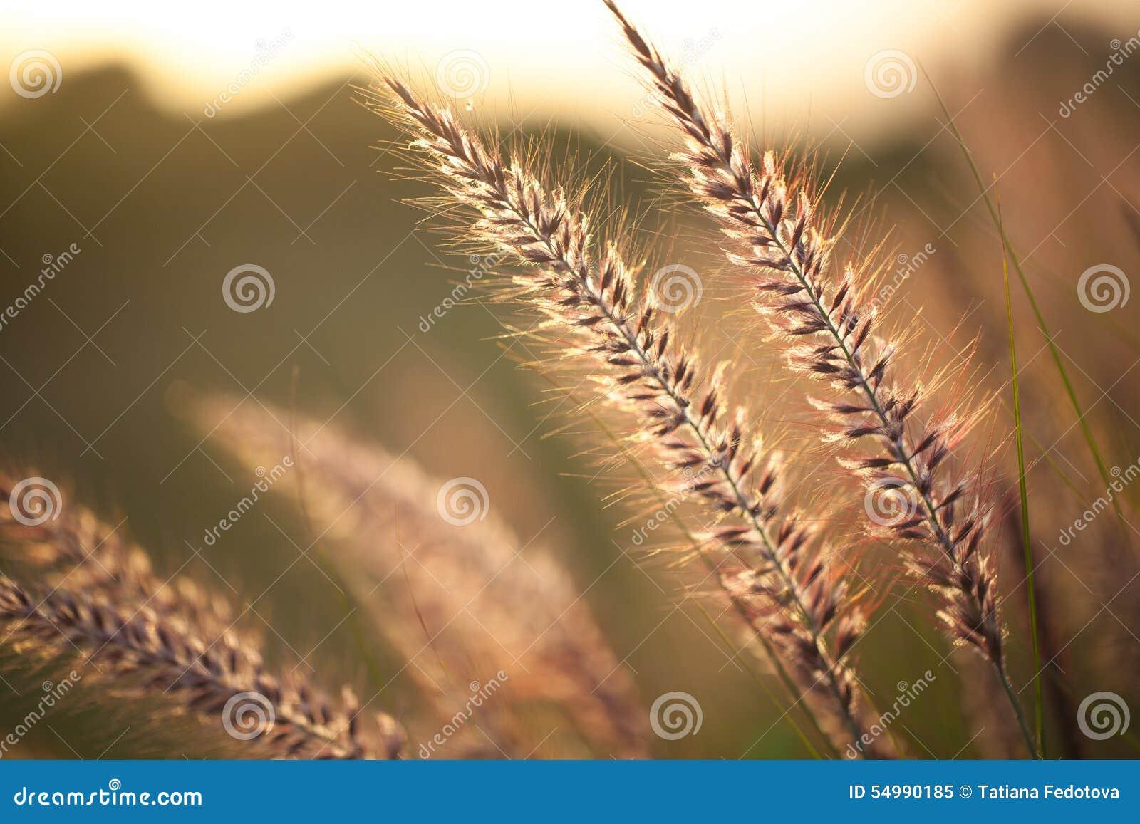 Fält av gräs under solnedgång