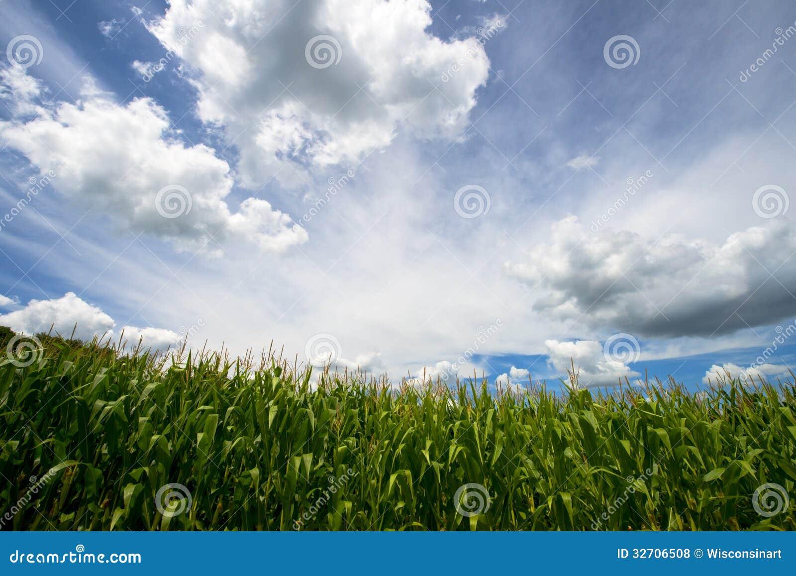 Fält av havre, blå himmel och moln, lantgårdCornfield