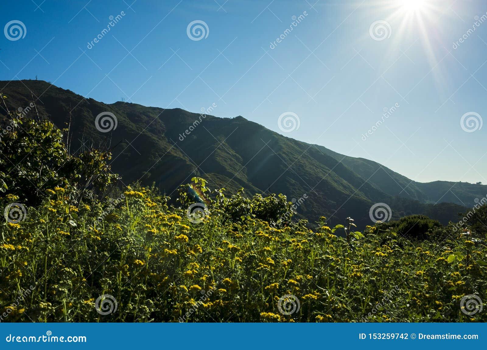 Fält av maskrosen framme av kullarna av Kalifornien