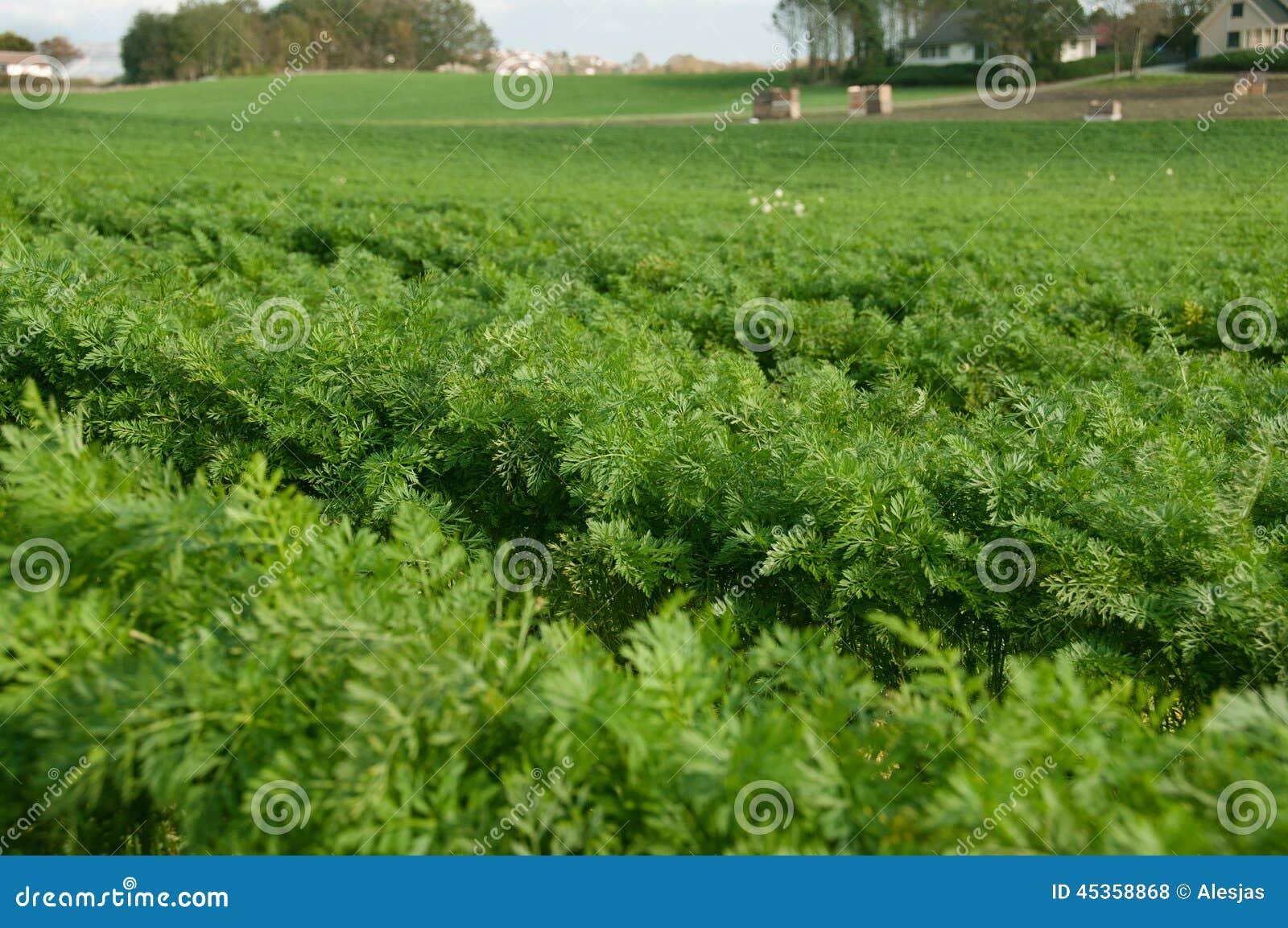 Fält av moroten