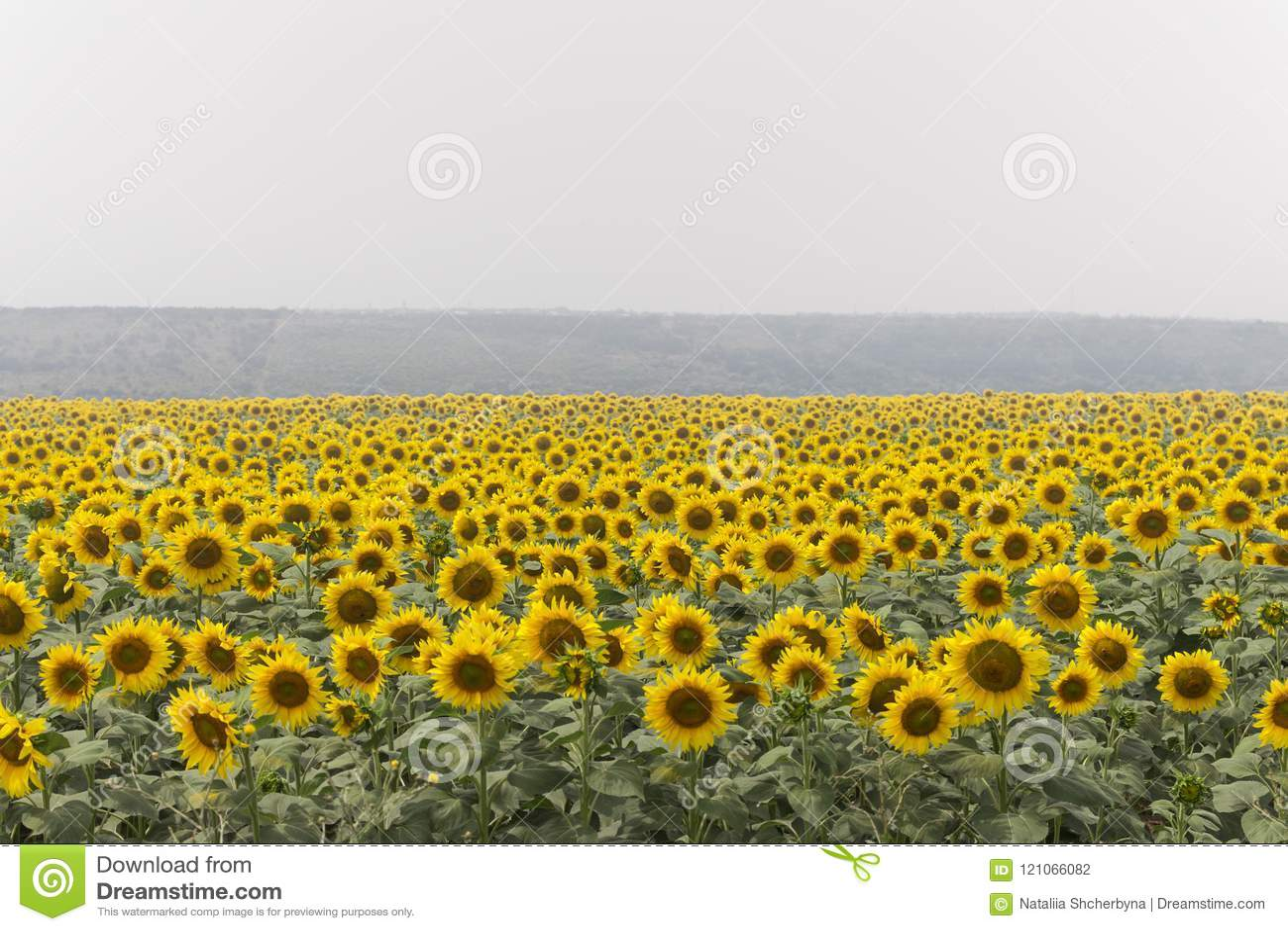 Fält av solrosor på dimmig dag Blommande solrosäng i ogenomskinlighet SOMMAREN landskap