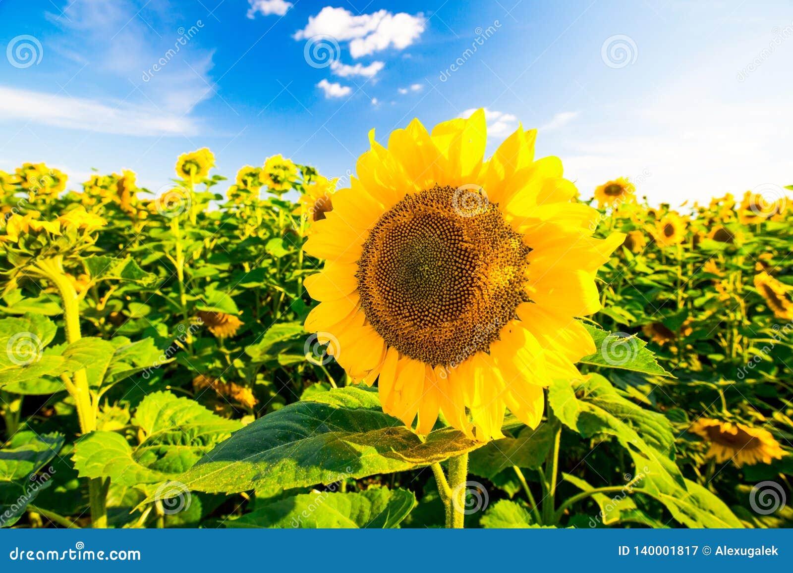 Fält l solrosor