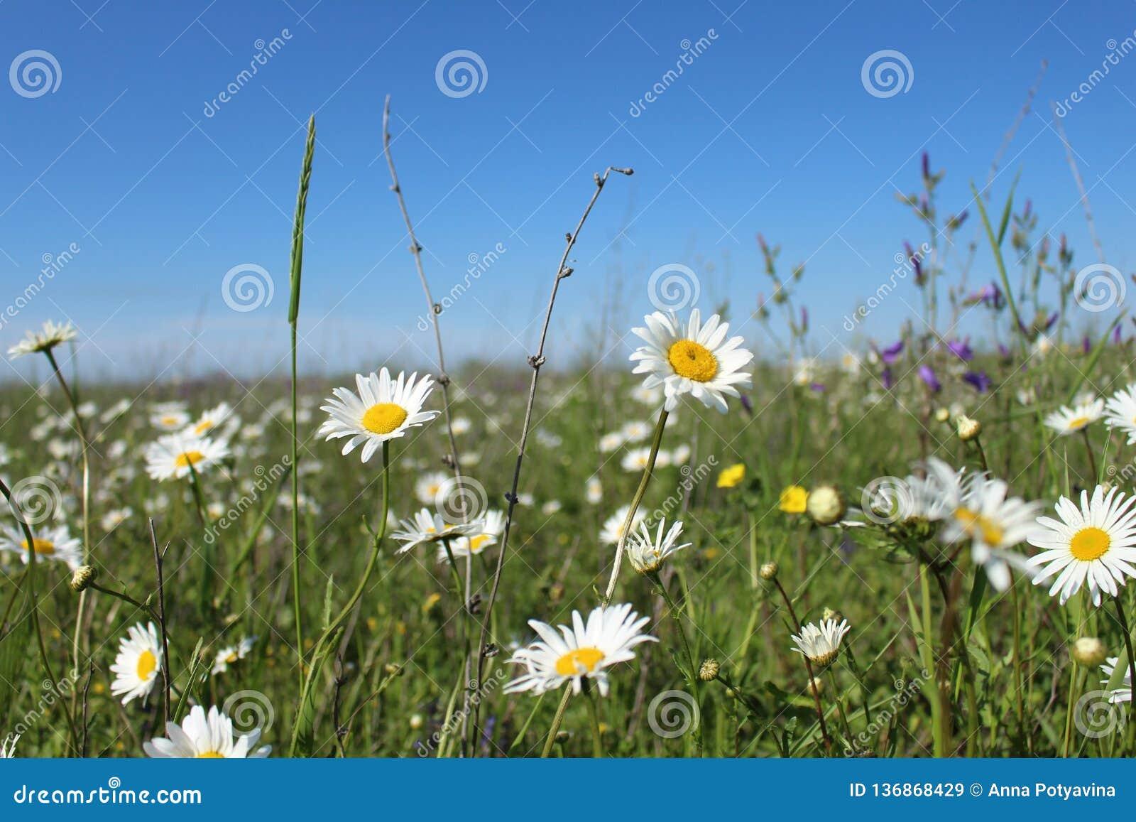 Fält med att blomma tusenskönor