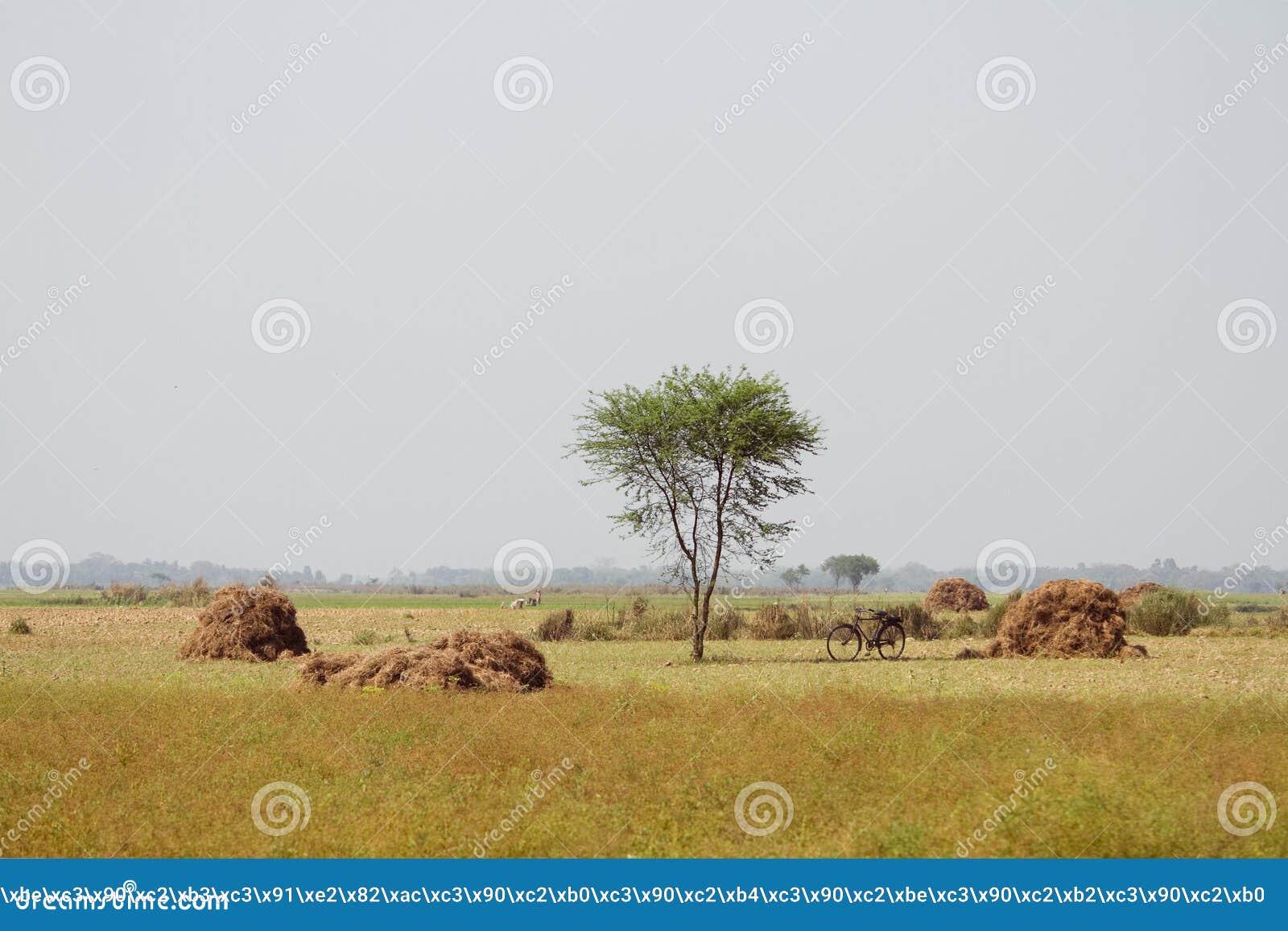 Fält med höstackar