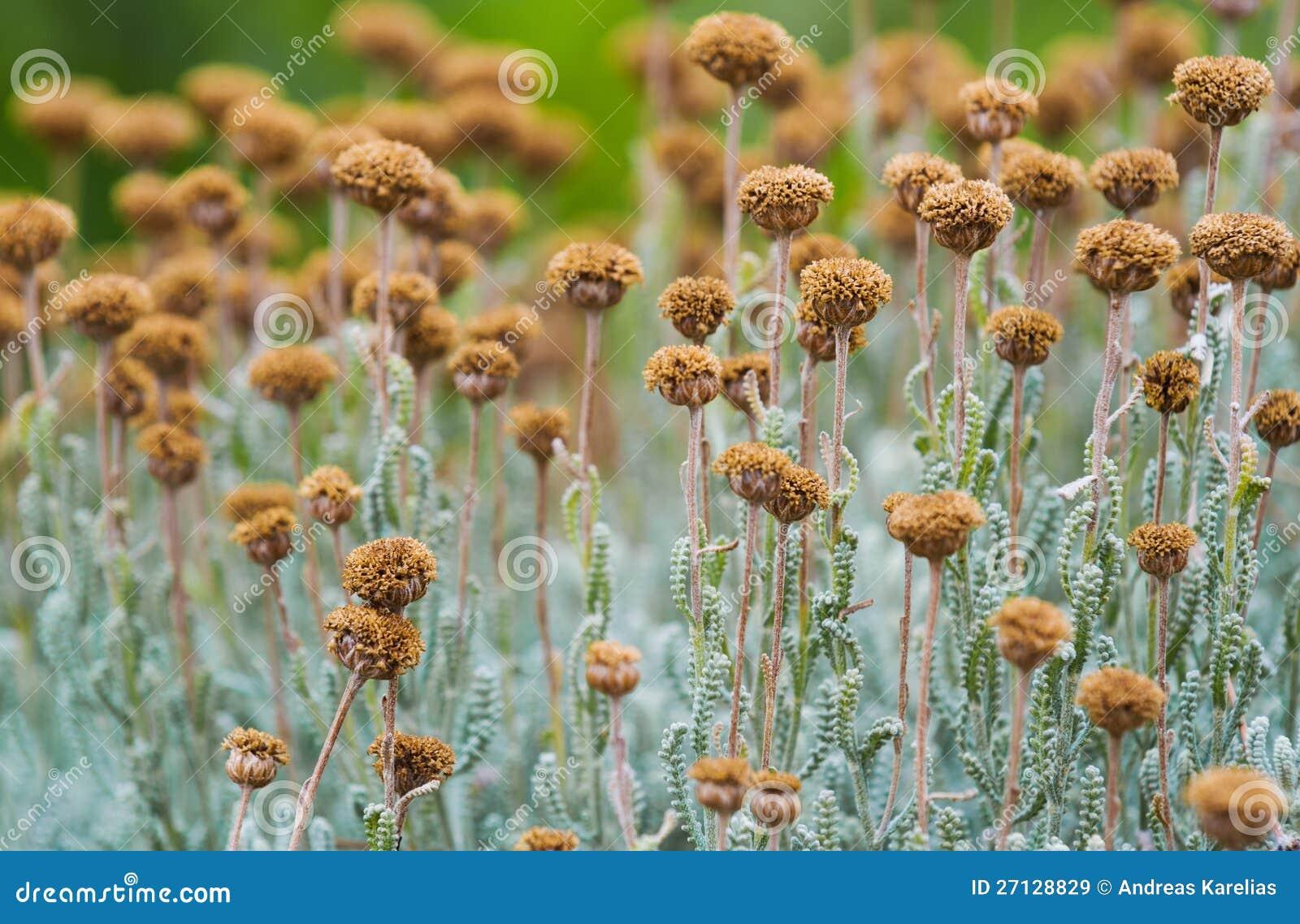 Fält med torkade santolinablommor