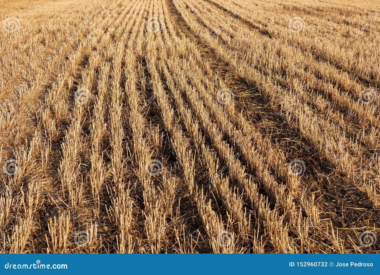 Fältet av sädesslag vete, korn, havre skördade mejat