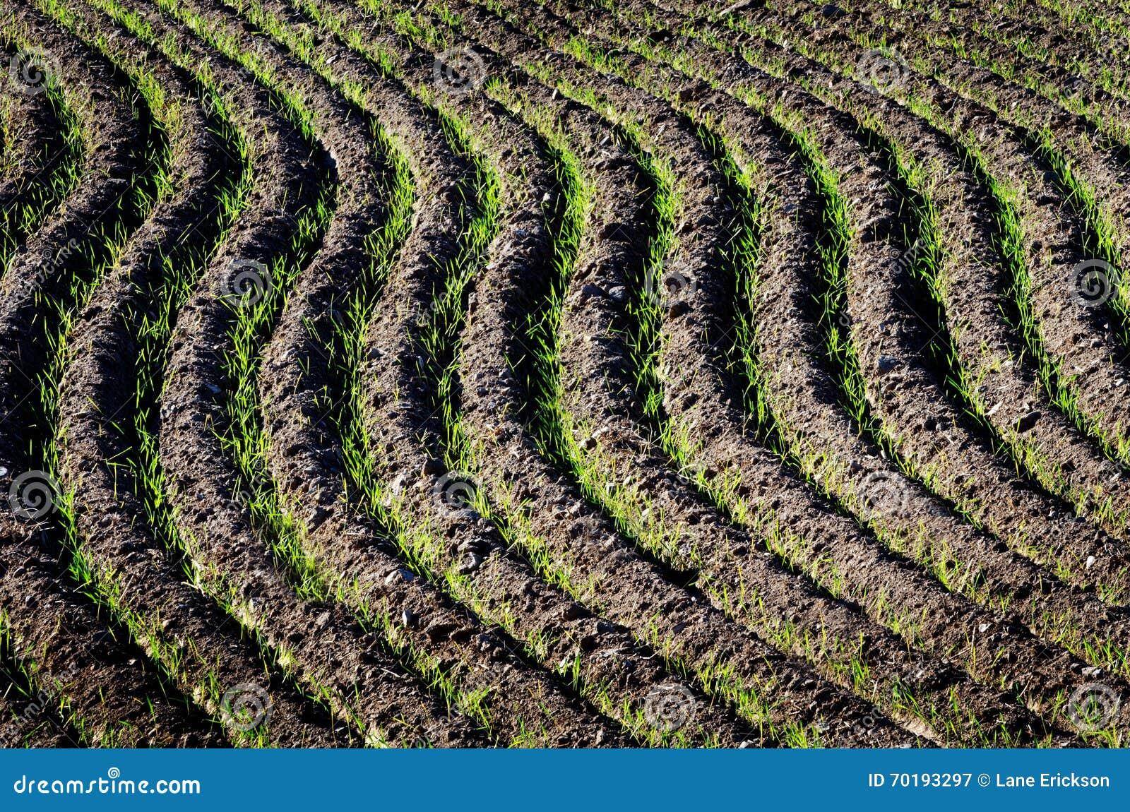 Fältet plöjer rader