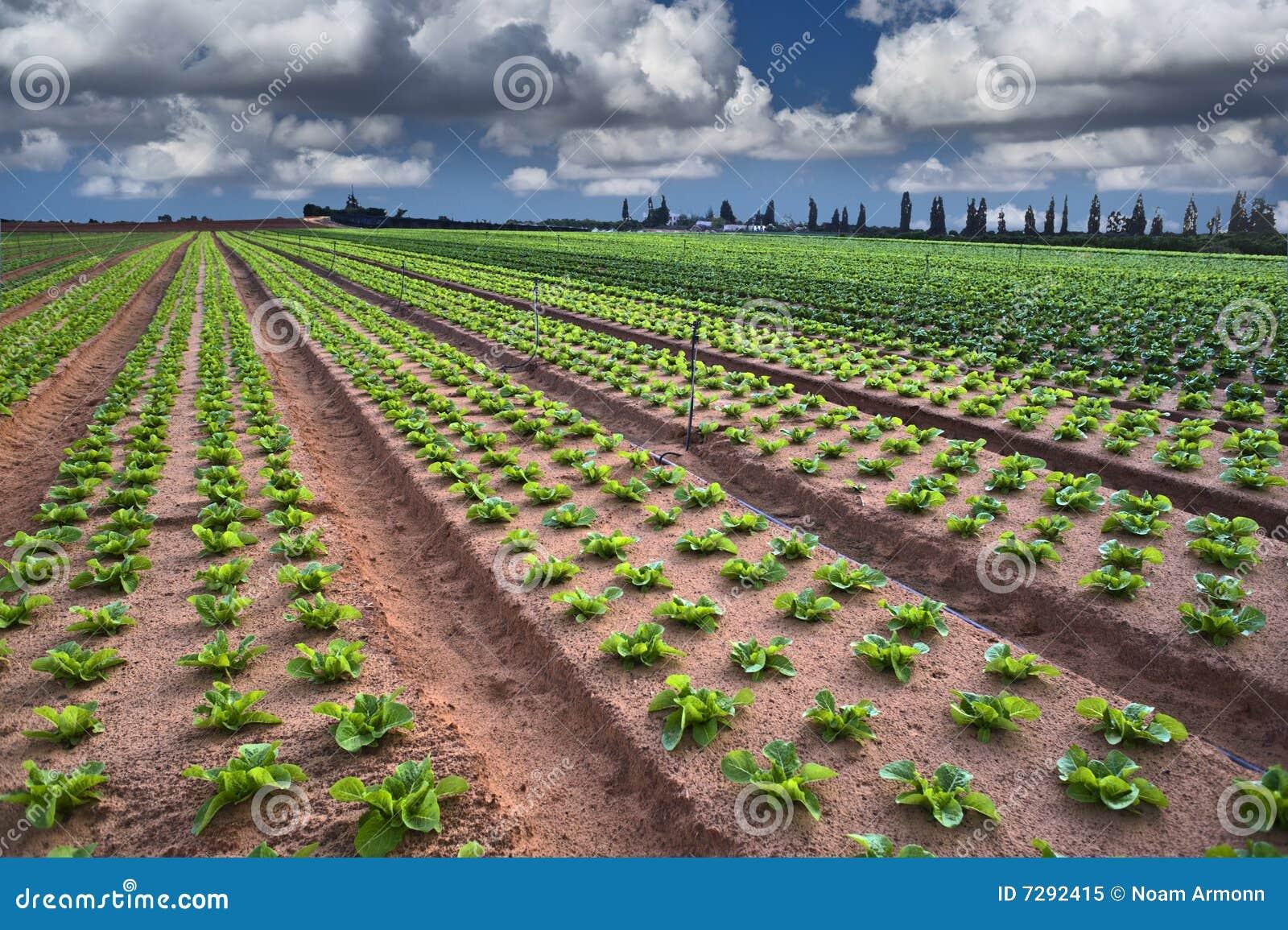Fältgrönsallat