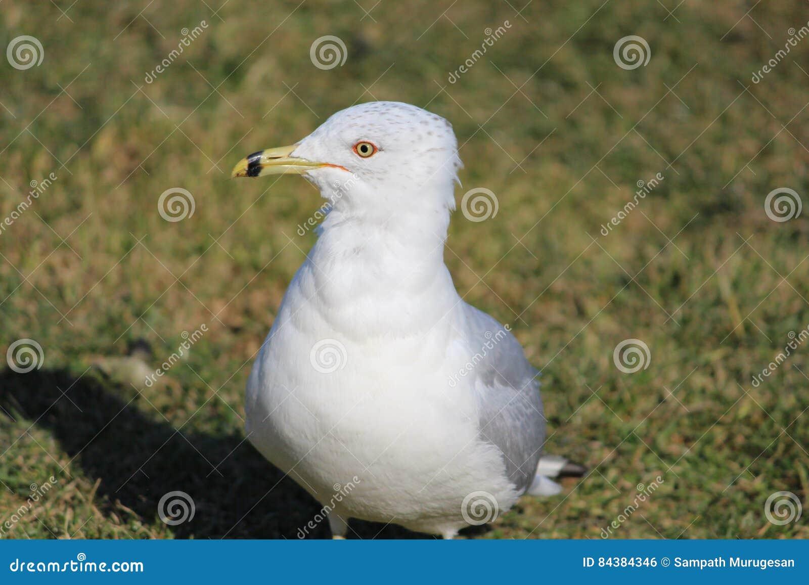 Fängslande blick av seagullen som väntar på dess mat