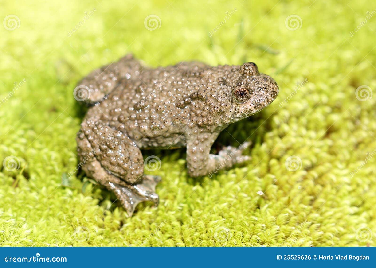 Färben Sie Aufgeblähte Kröte (Frosch) Auf Grünem Moos Gelb Stockfoto ...