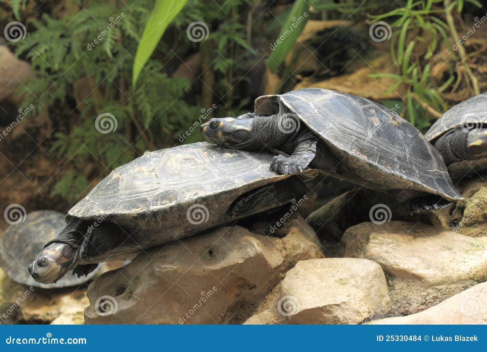Färben Sie Beschmutzte Amazonas-Schildkröte Gelb Stockfoto - Bild ...