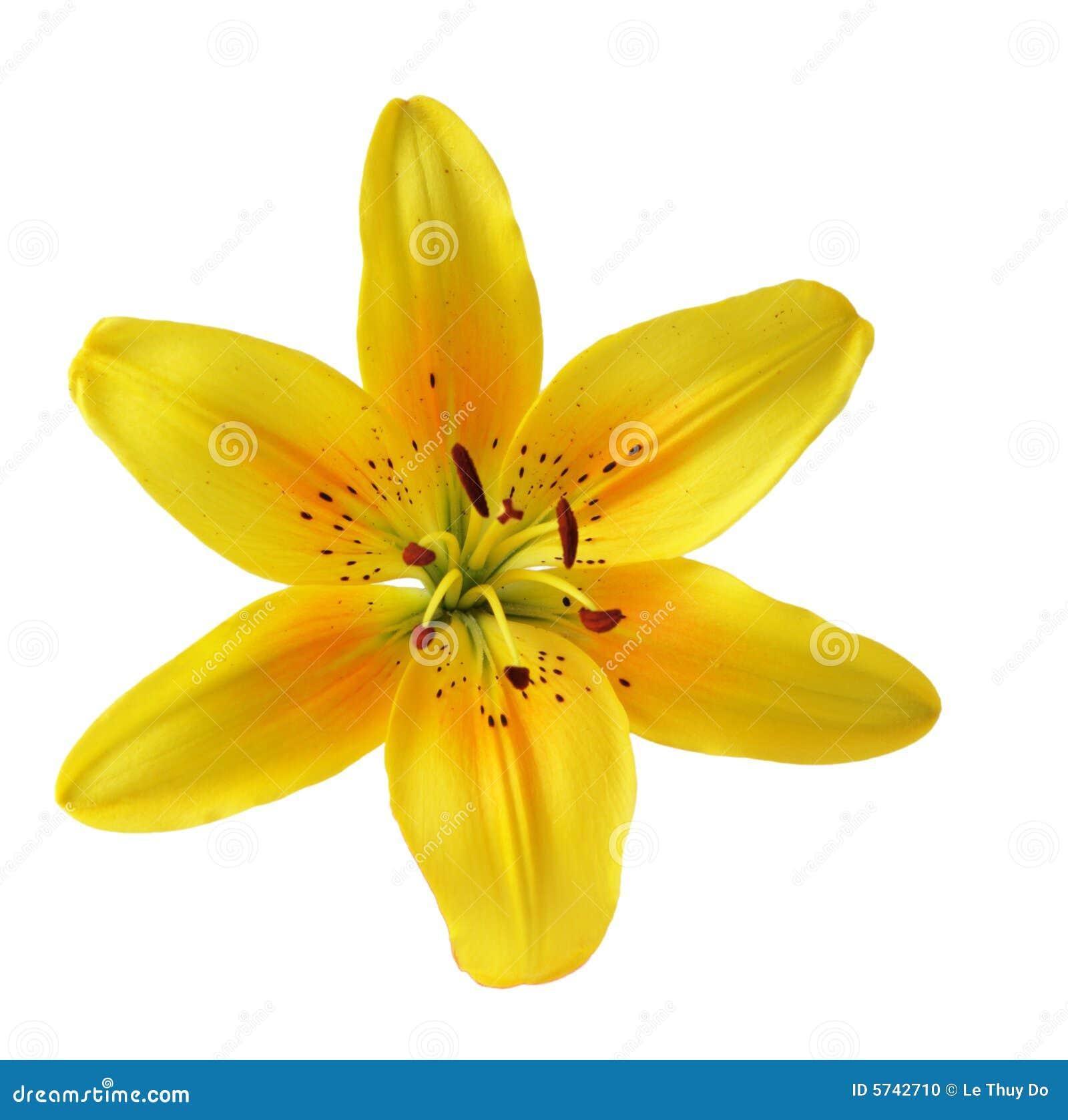 Färben Sie Lilie gelb stockfoto. Bild von getrennt, braun - 5742710