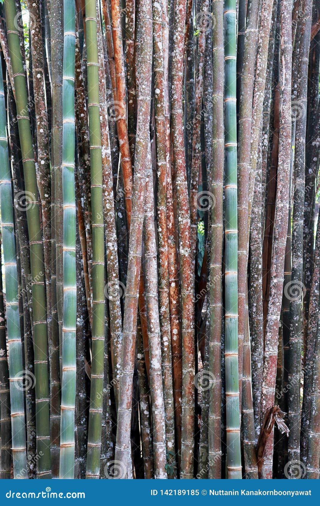 Färgbambubakgrund, tapet, bambustammar i en dunge i Chaingmai Thailand Asien