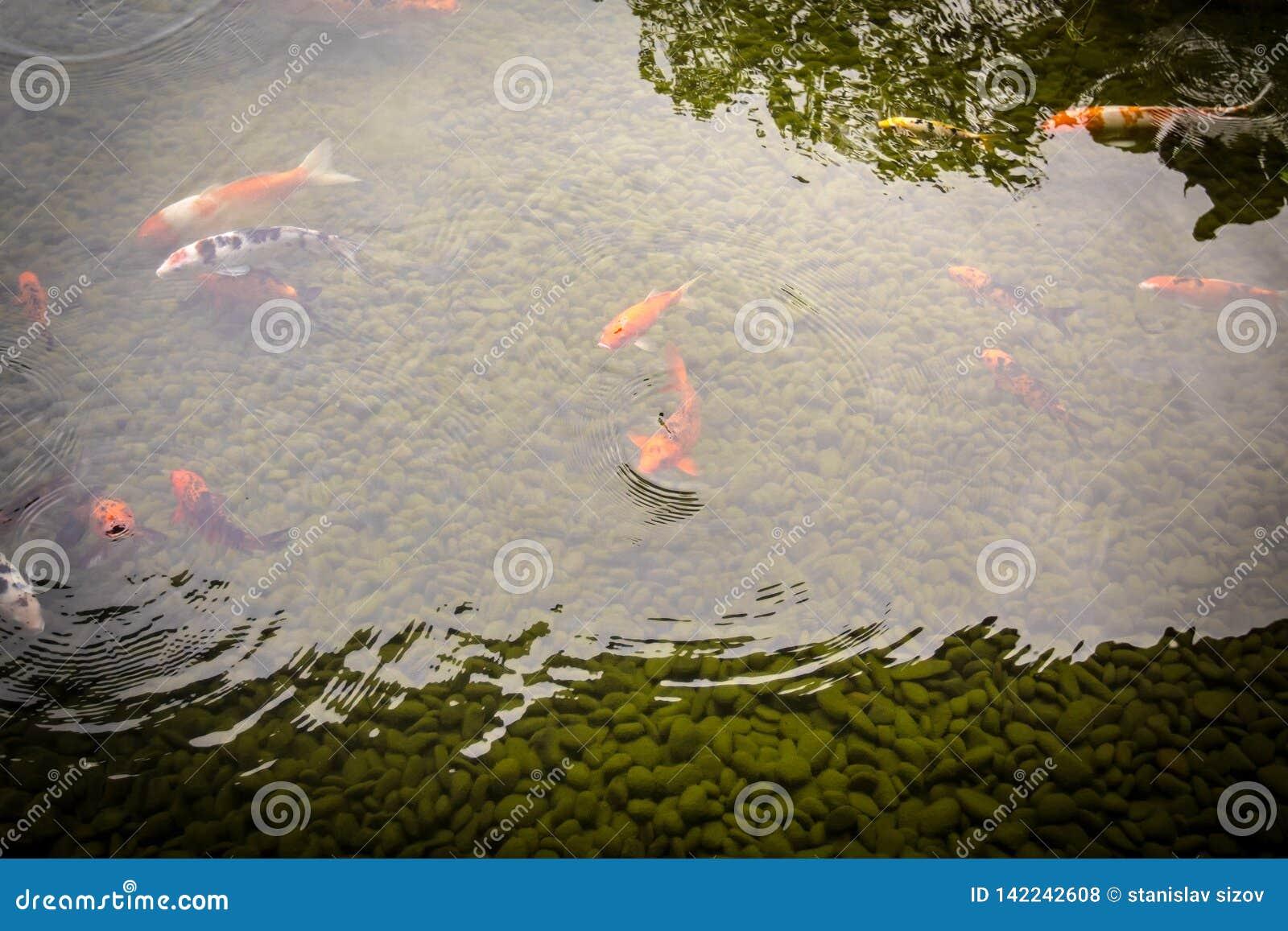 Färgglad coikarpfisk som simmar i dammet