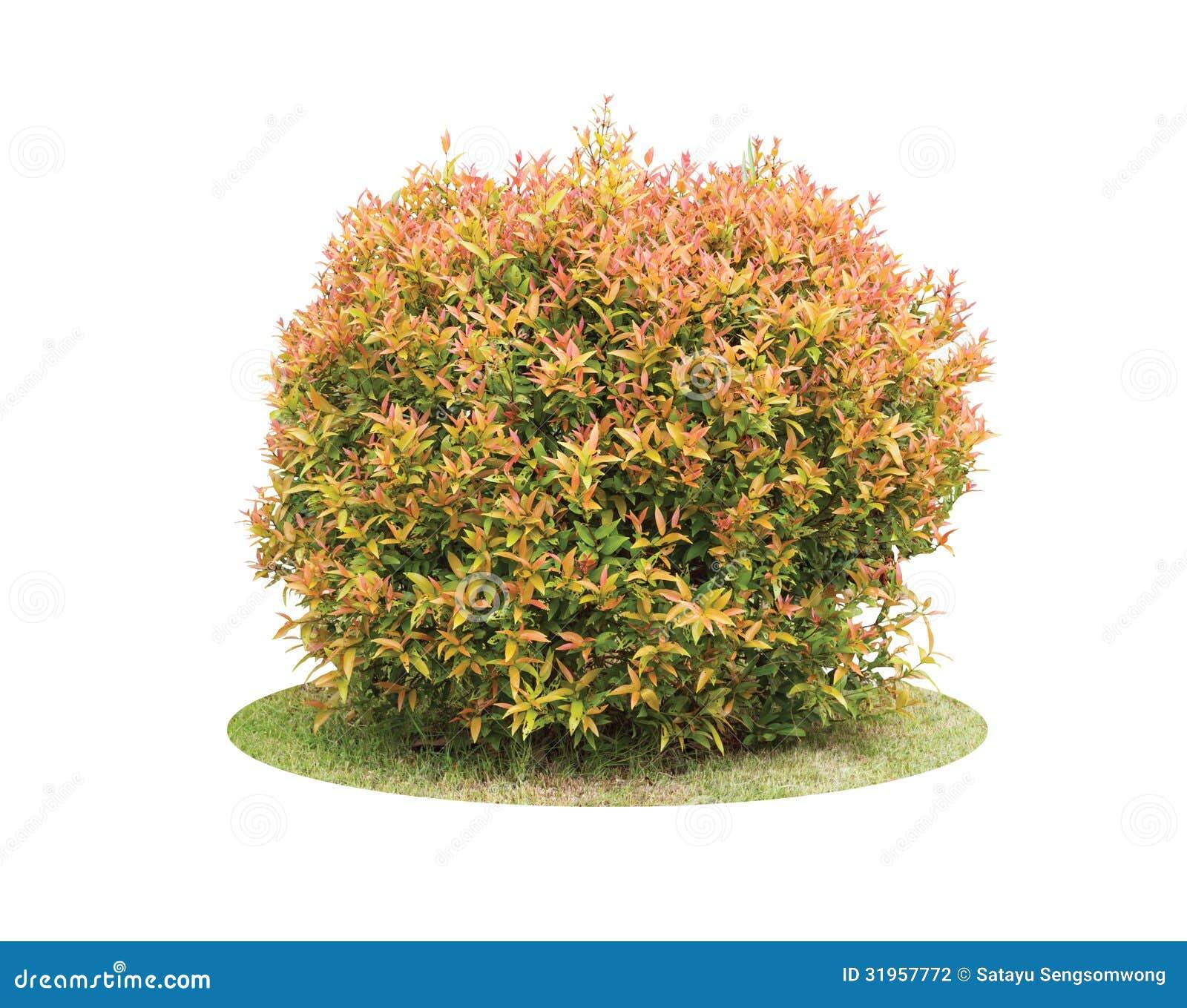 Färgrik buske av trädet för duvabär