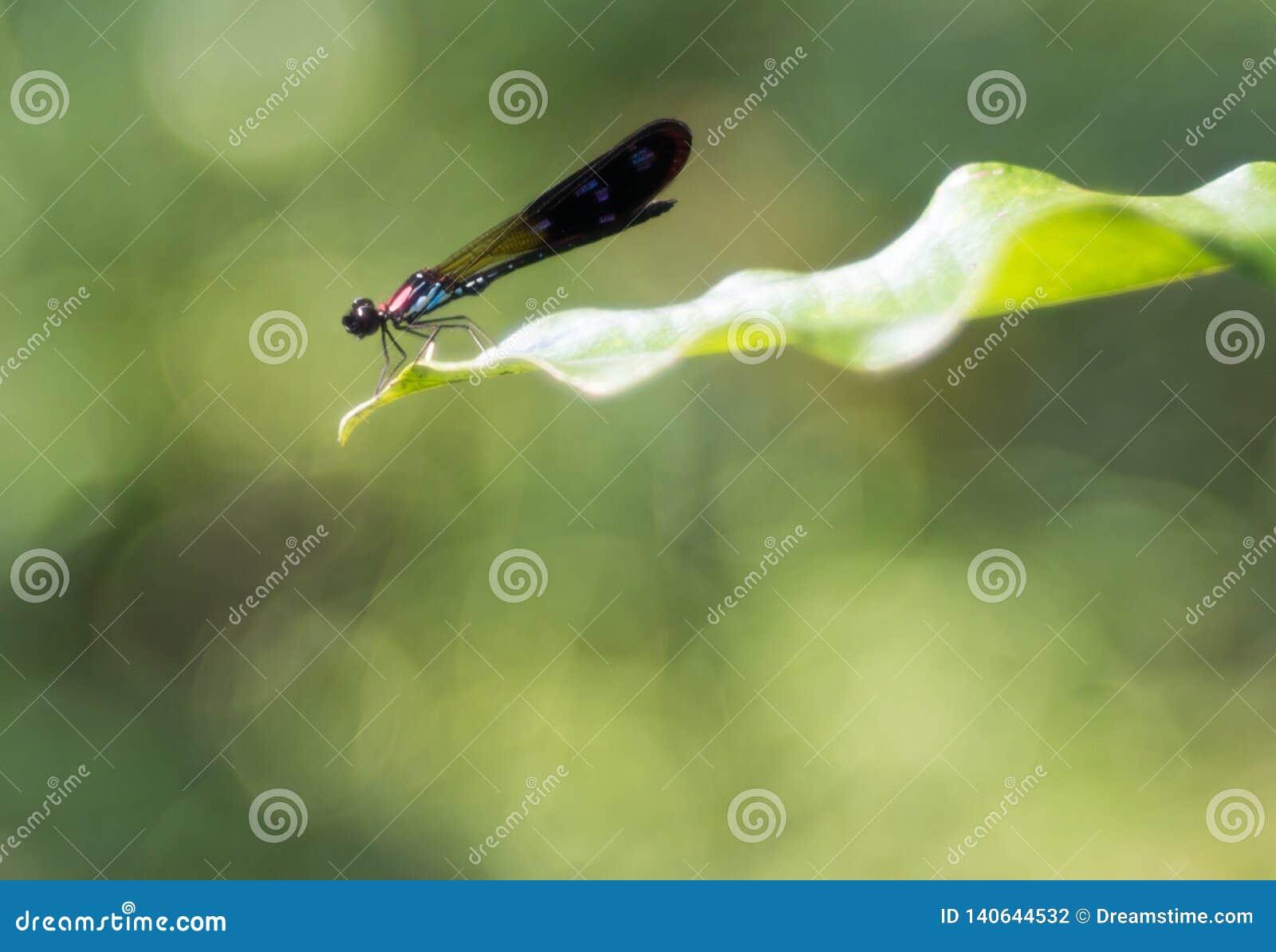 Färgrik damselfly på det gröna bladet