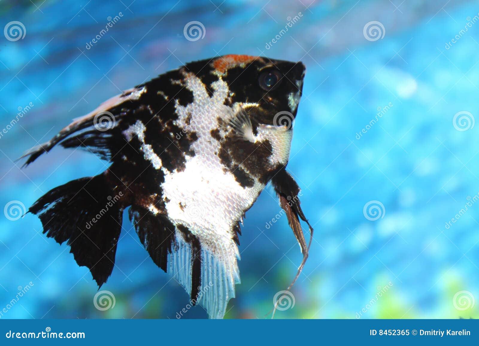Färgrik fisk för akvarium