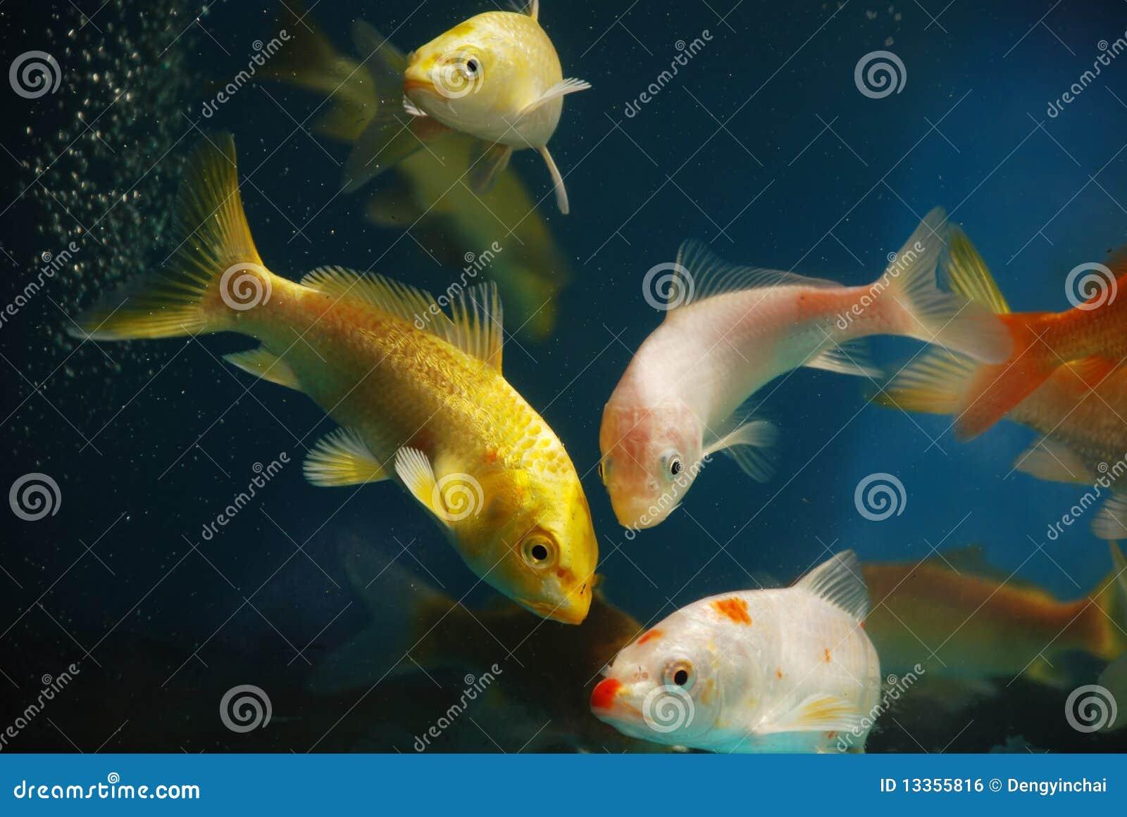 Färgrik fiskkoi