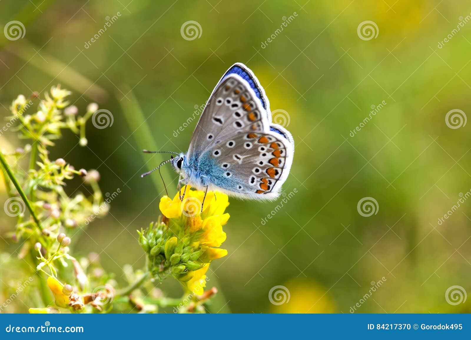 Färgrik fjärilscloseup Blå apelsin flor-påskyndade Polyommatus icarus på växt av släktet Trifoliumblomman Färg för grönska för so