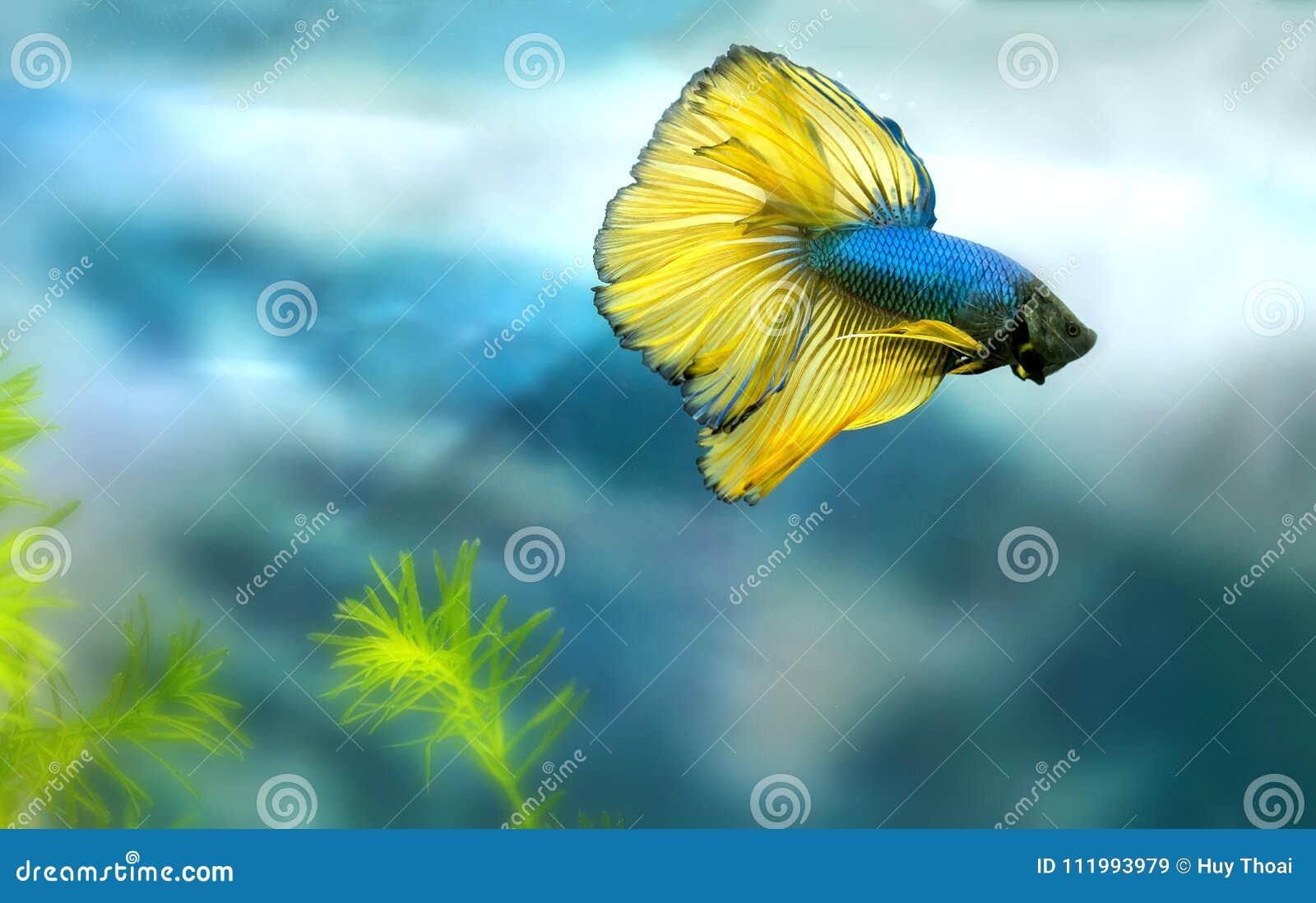 Färgrik simning för Halfmoonbetta i fiskbehållare