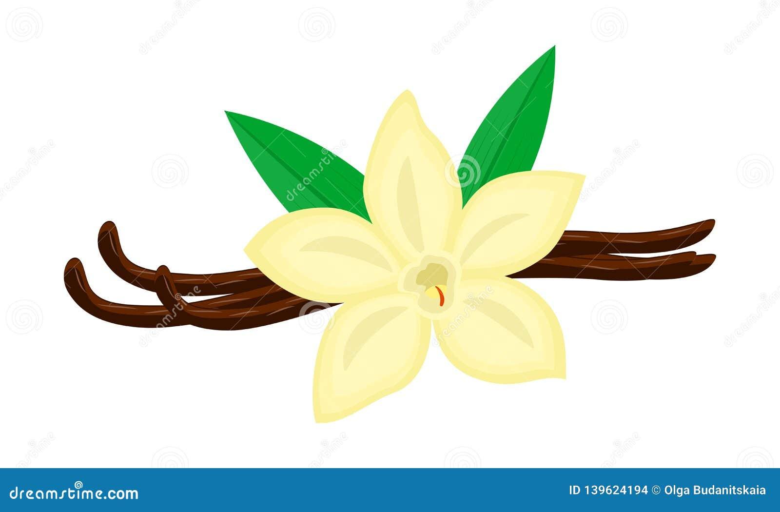 Färgrik vaniljblomma och fröskidavektorillustration som isoleras på vit bakgrund