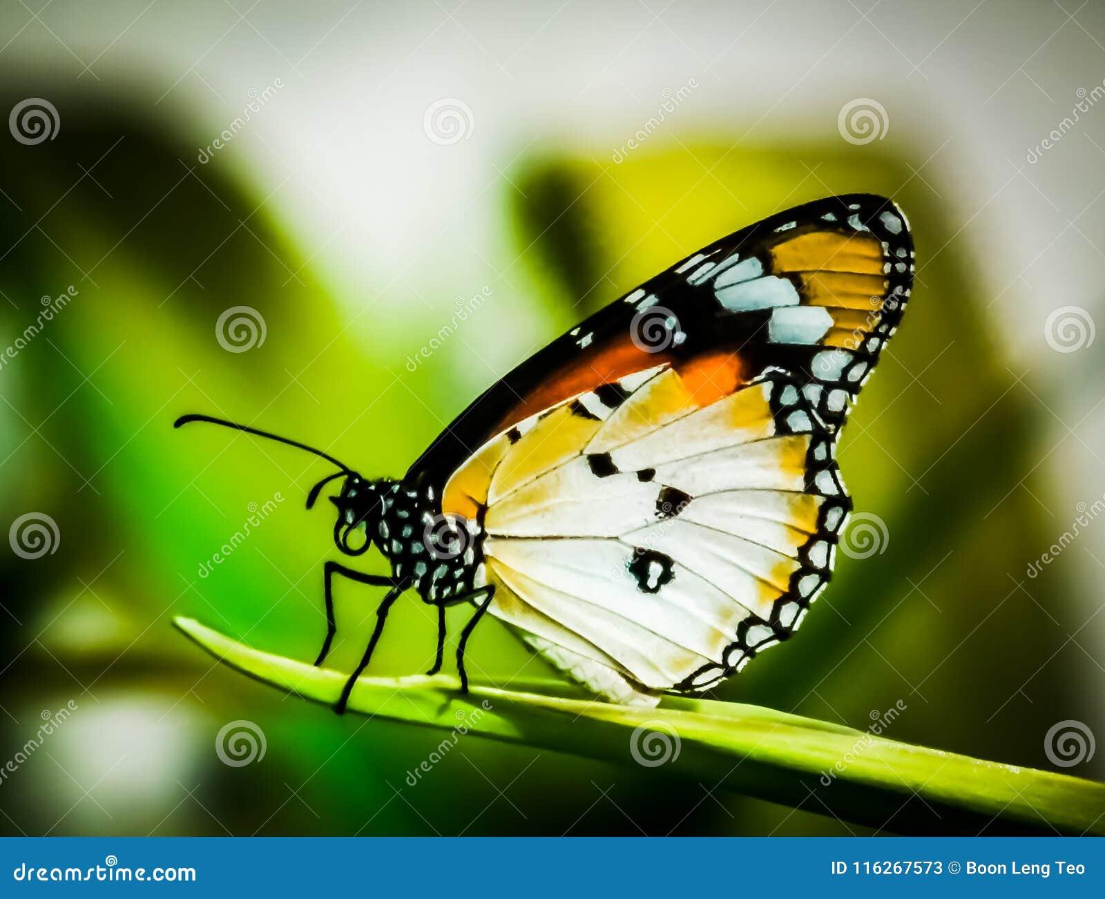 Färgrik vanlig tigerfjäril i HortPark Singapore
