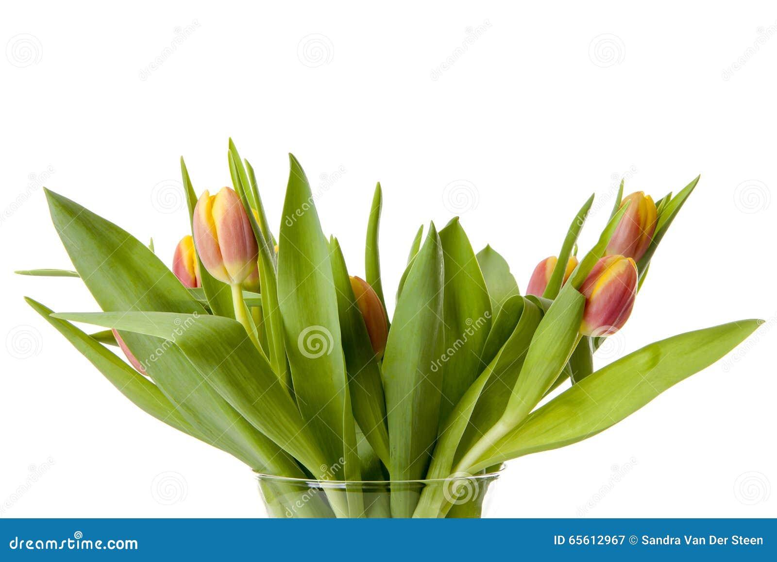 Färgrika holländska tulpan i closeup