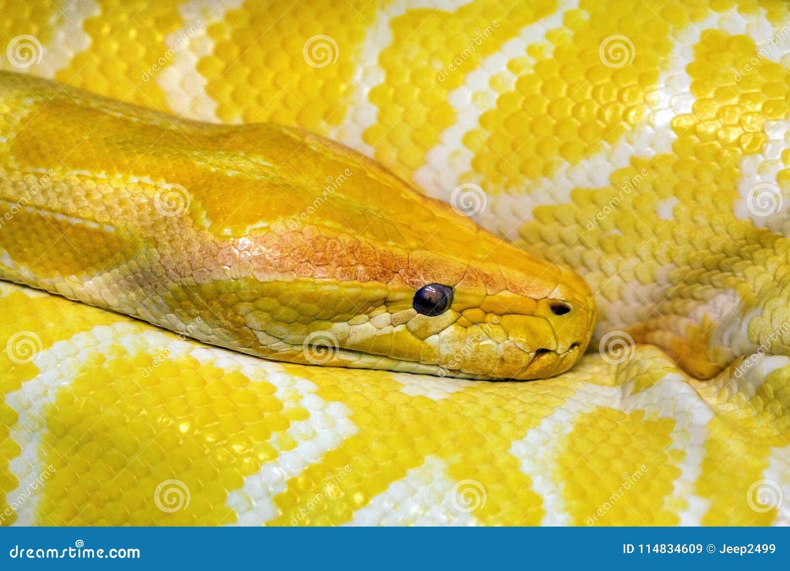 Färgrika modeller och huvud av den guld- boaen
