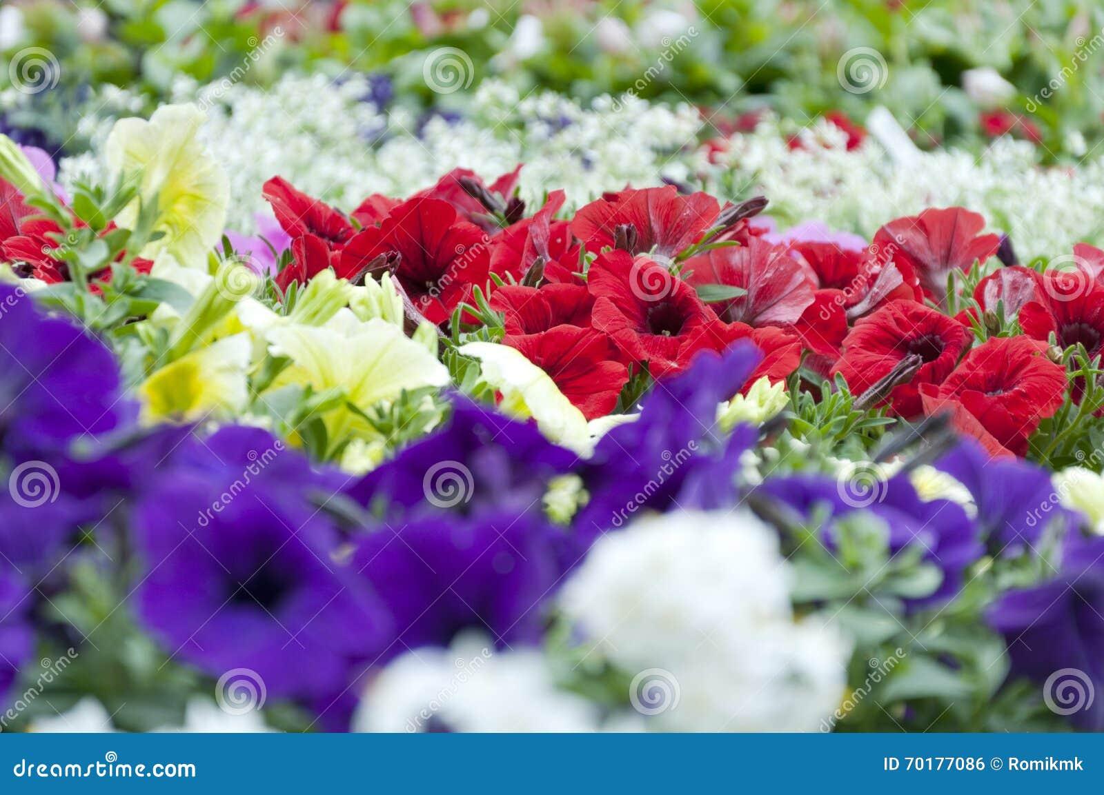 Färgrika petuniablommor