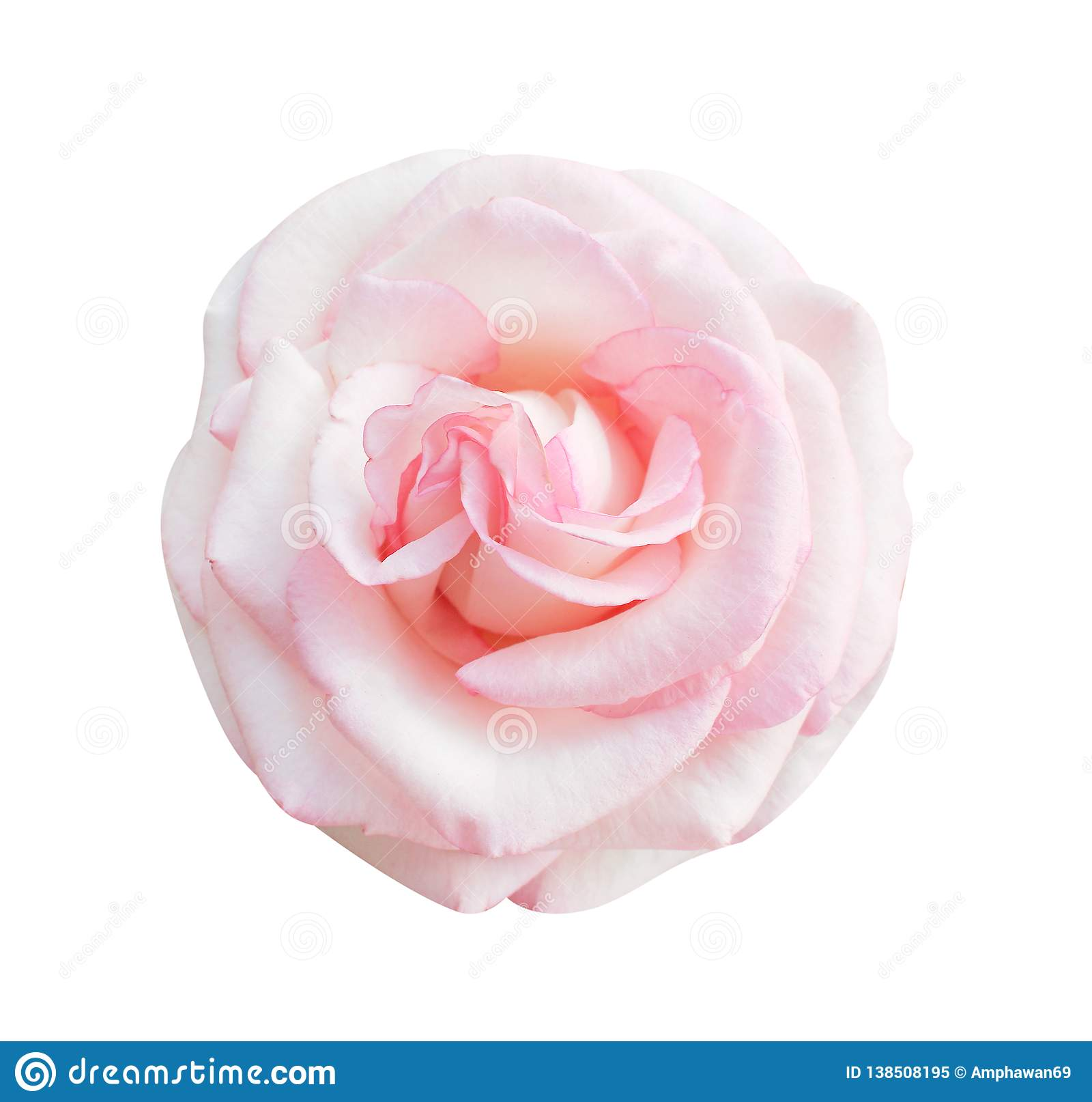 Färgrika rosa färger steg blommor som blommar den bästa sikten som isolerades på vit bakgrund, härliga naturliga modeller
