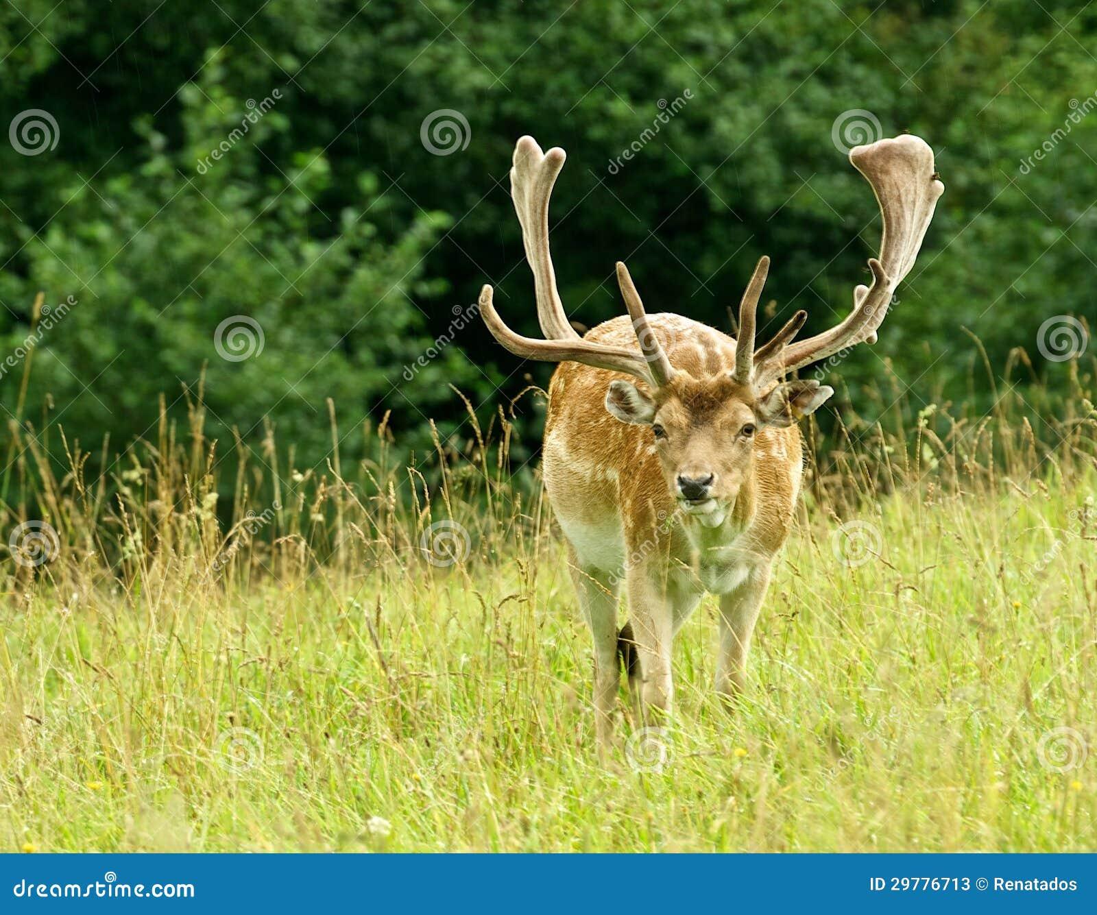 Färgrika stora träda-hjortar med stora horns, manlig i ett gräs sätter in, tätt upp, doen, trevligt wild djur i grön bakgrund, nat