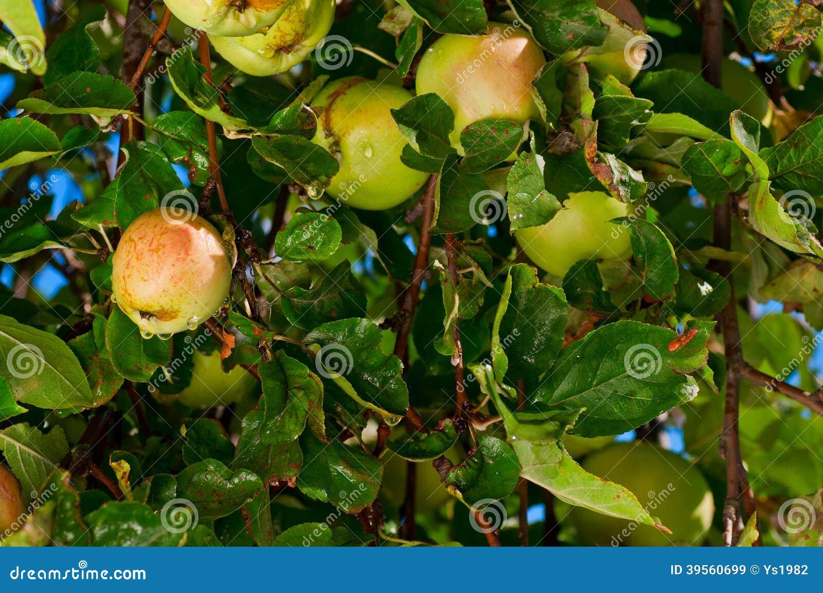 Färgrikt skott som innehåller en grupp av röda äpplen