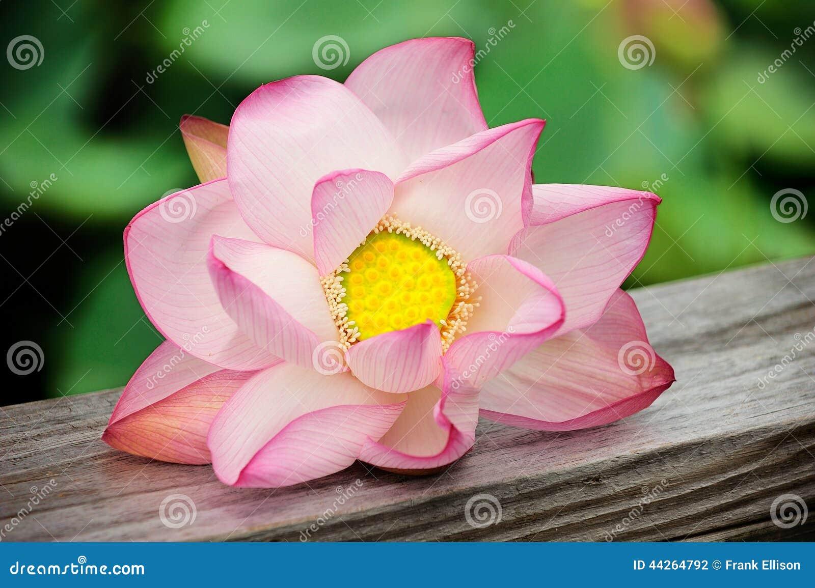 Fästande ihop blomma isolerad liljabanawhite