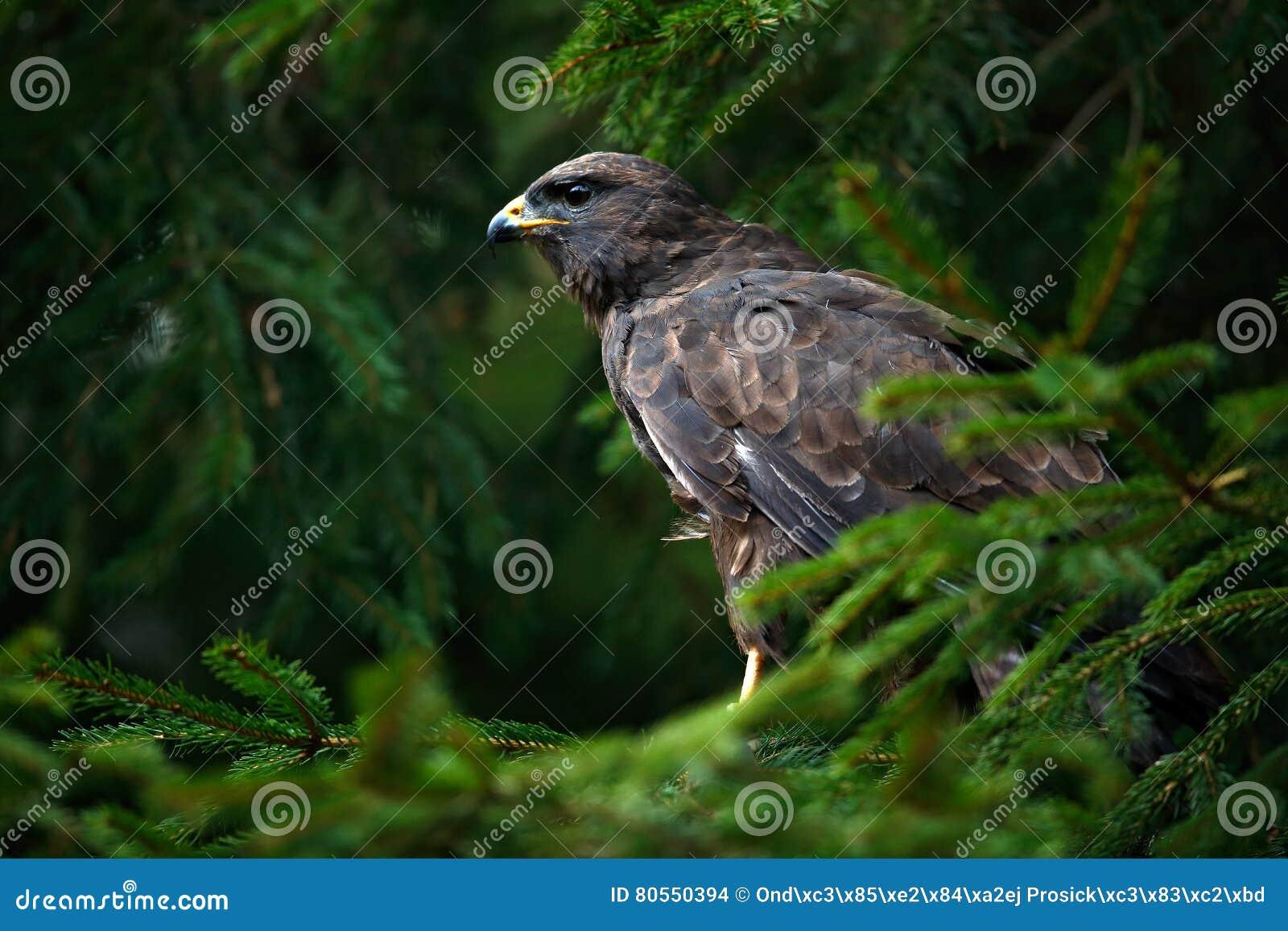 Fågel av den gemensamma vråket för rov, Buteobuteo som sitter på barrträds- prydlig trädfilial Fågel som döljas i trädet i den mö