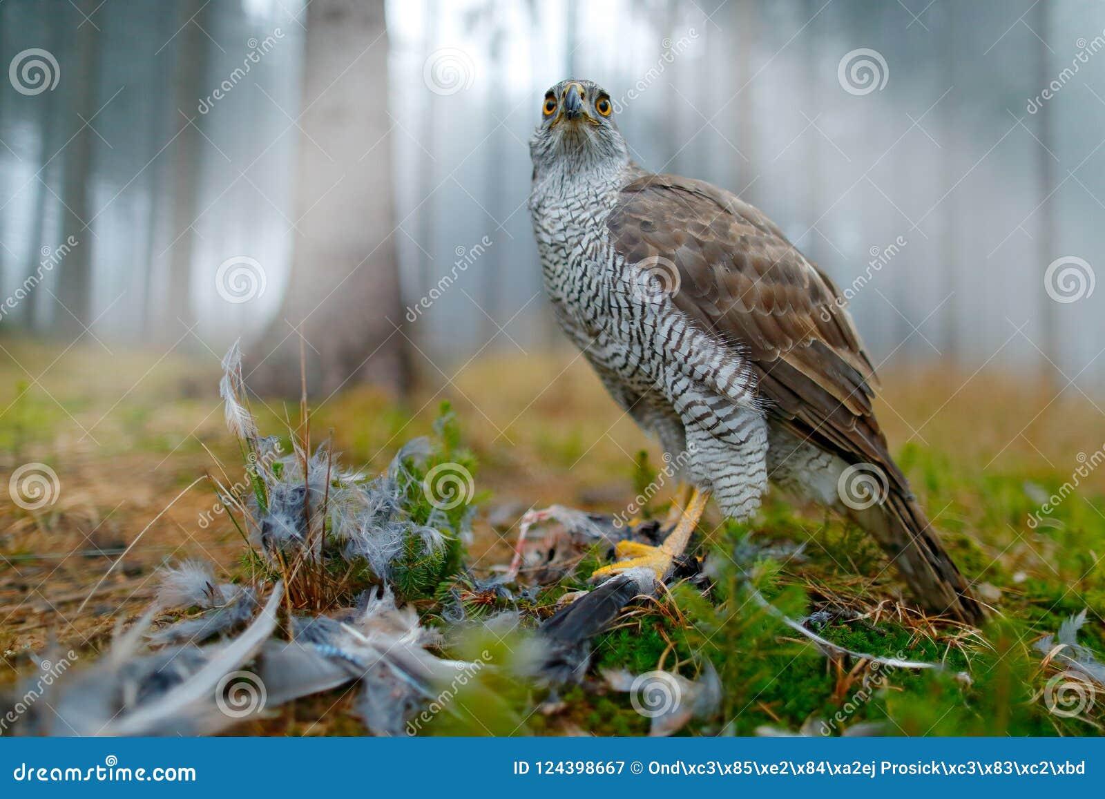 Fågel av rovgoshawken med den dödade Eurasianskatan på gräset i grön skogdjurlivplats från det djura uppförandet för skog in