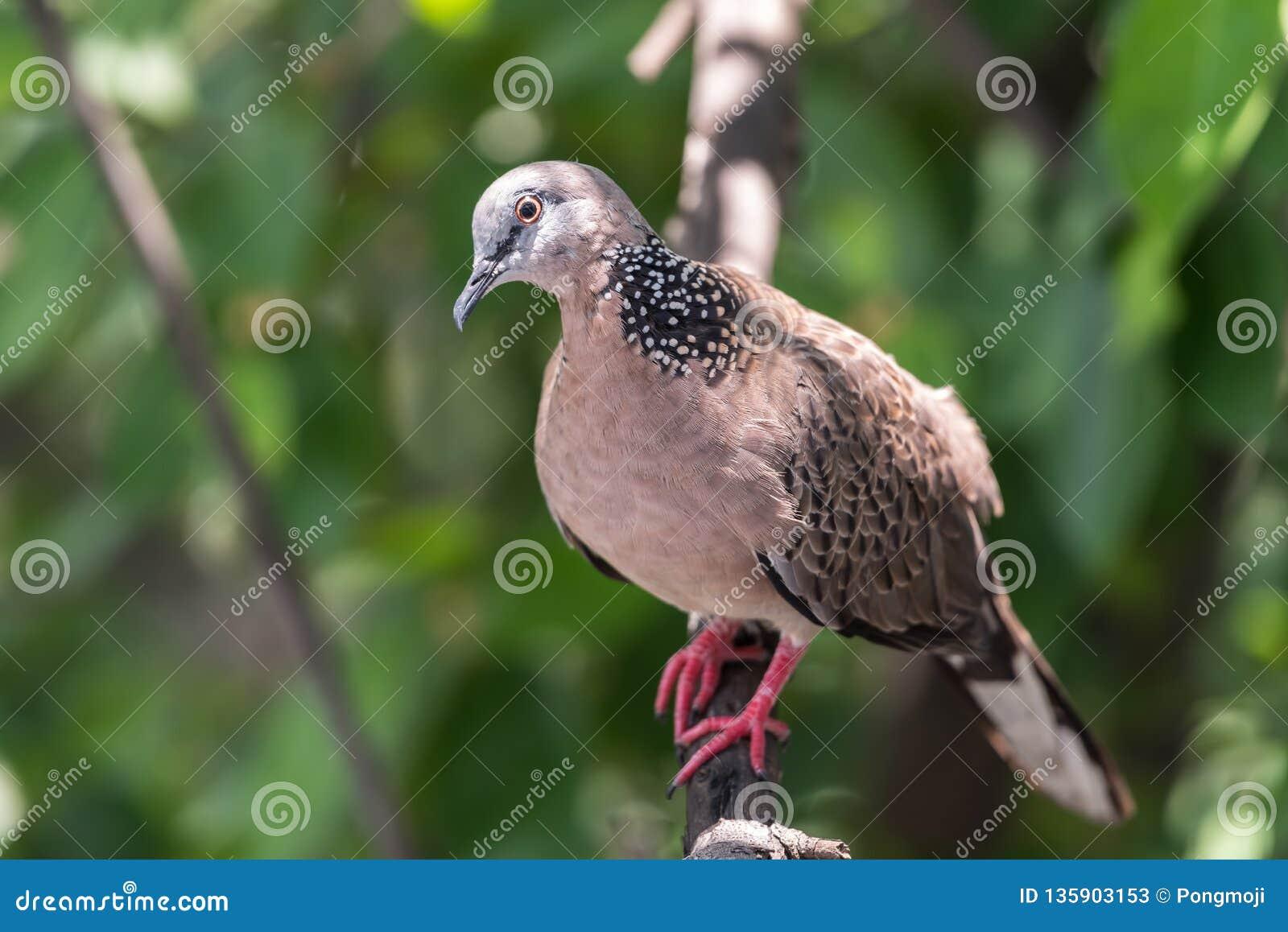 Fågel (duva, duva eller Disambiguation) i en natur