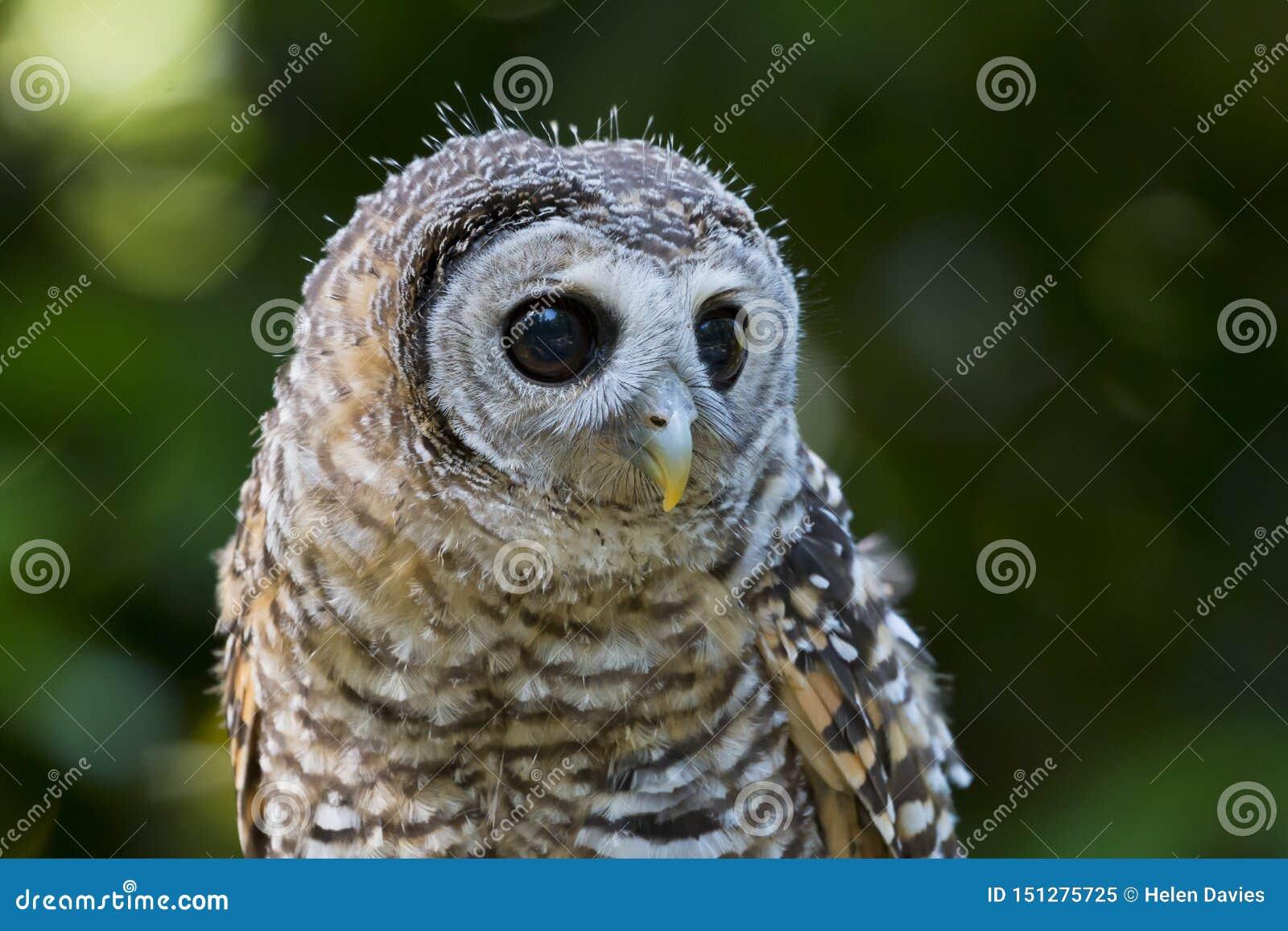 Fågel för chacoensis för strix för tonåringChaco uggla av rovet