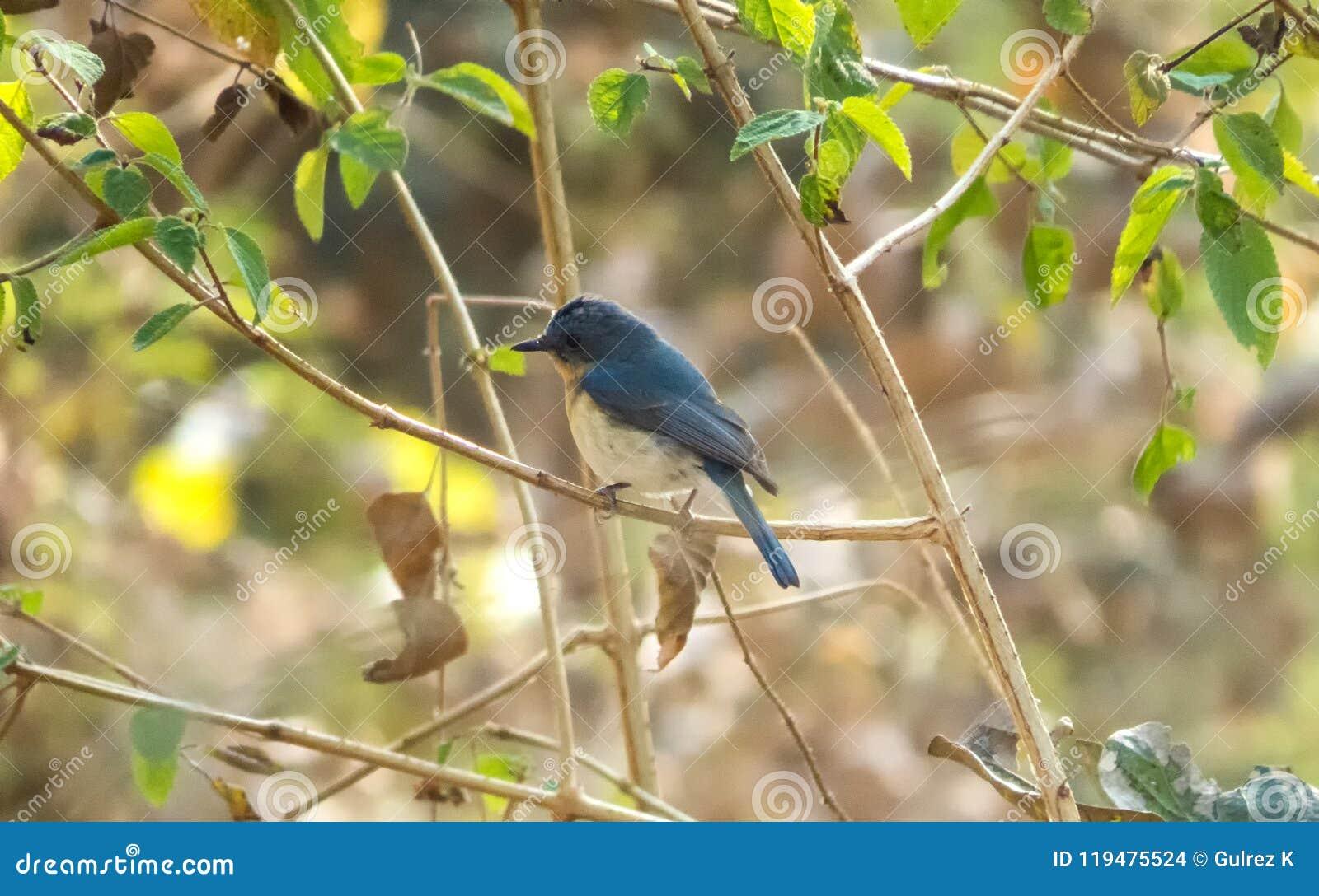 Fågel för flugsnappare för blått för Tickell ` s i en skog nära Indore, Indien